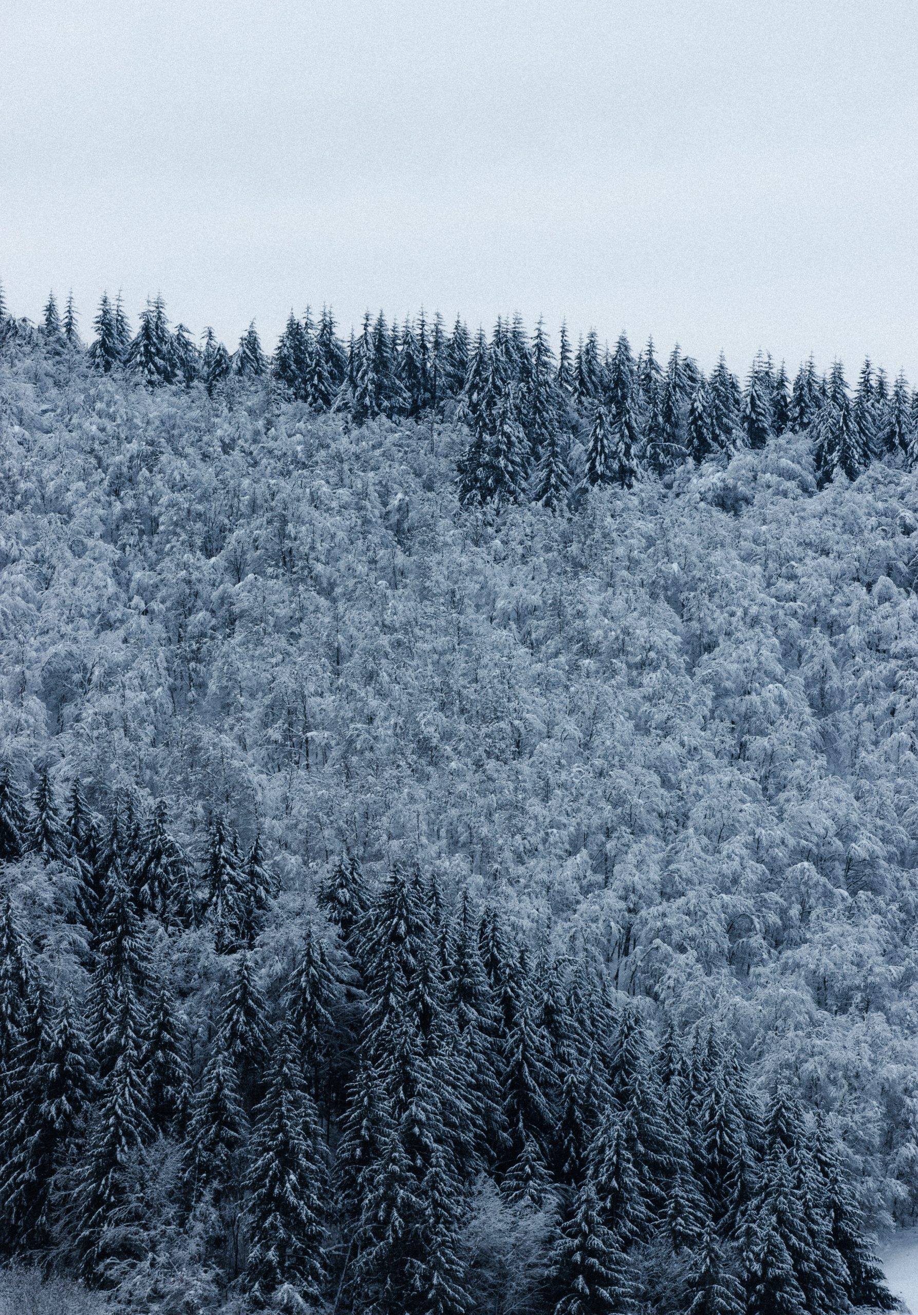 Snow over trees