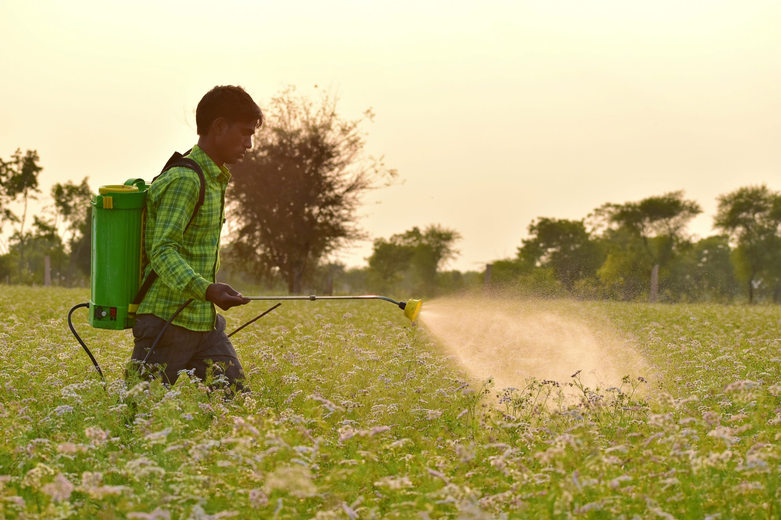 Spraying insecticide to crops