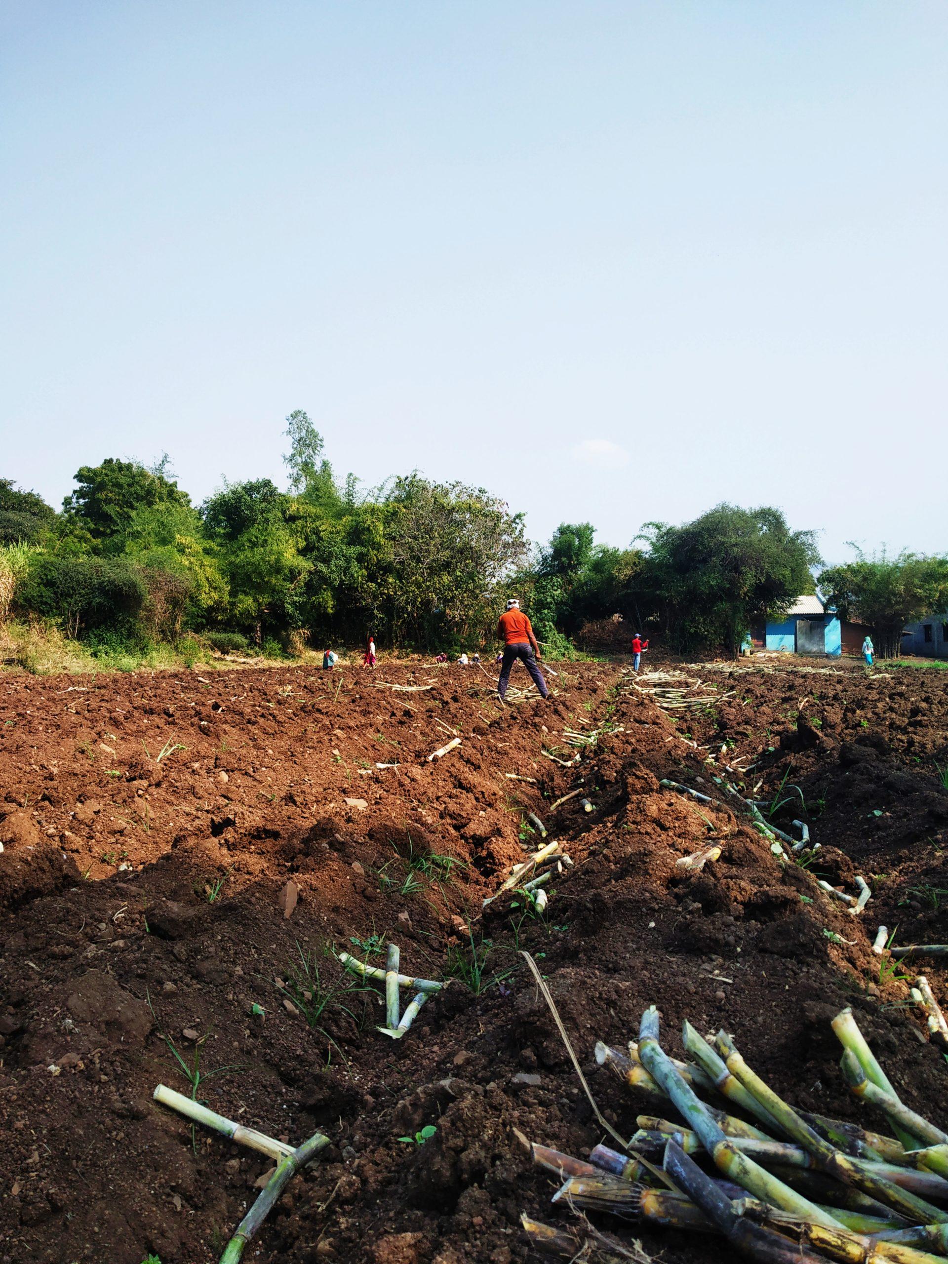 Sugarcane in the farm