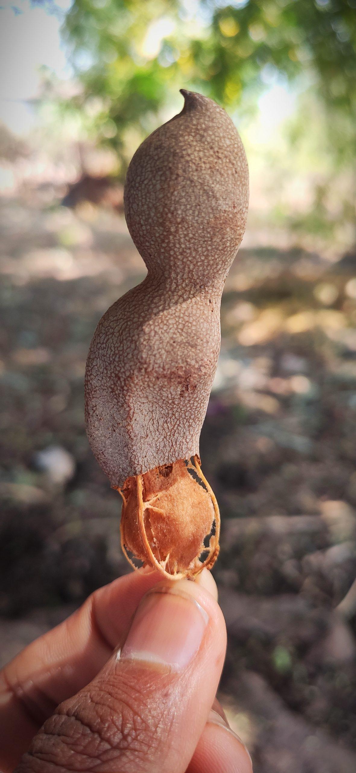 Tamarind in hand