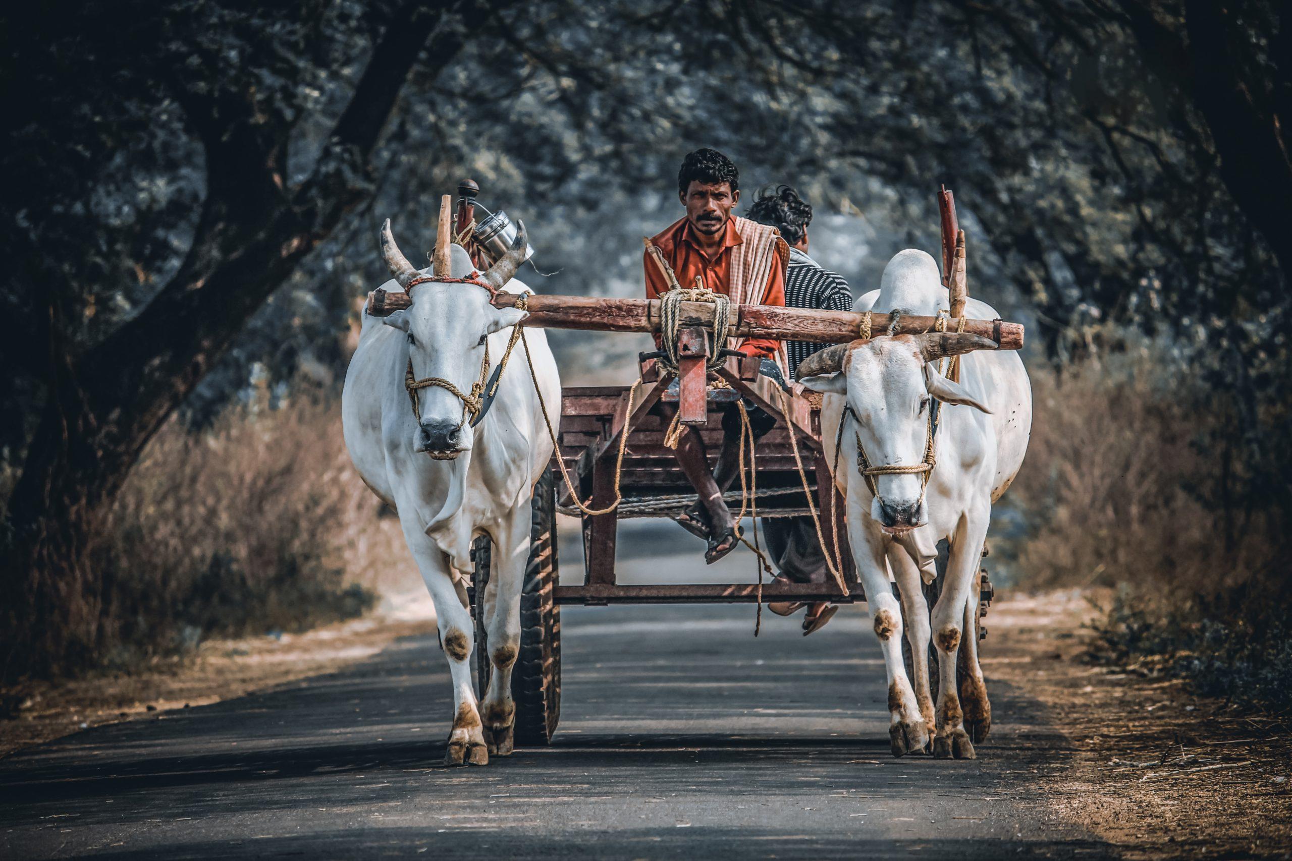 Farmer on oxcart