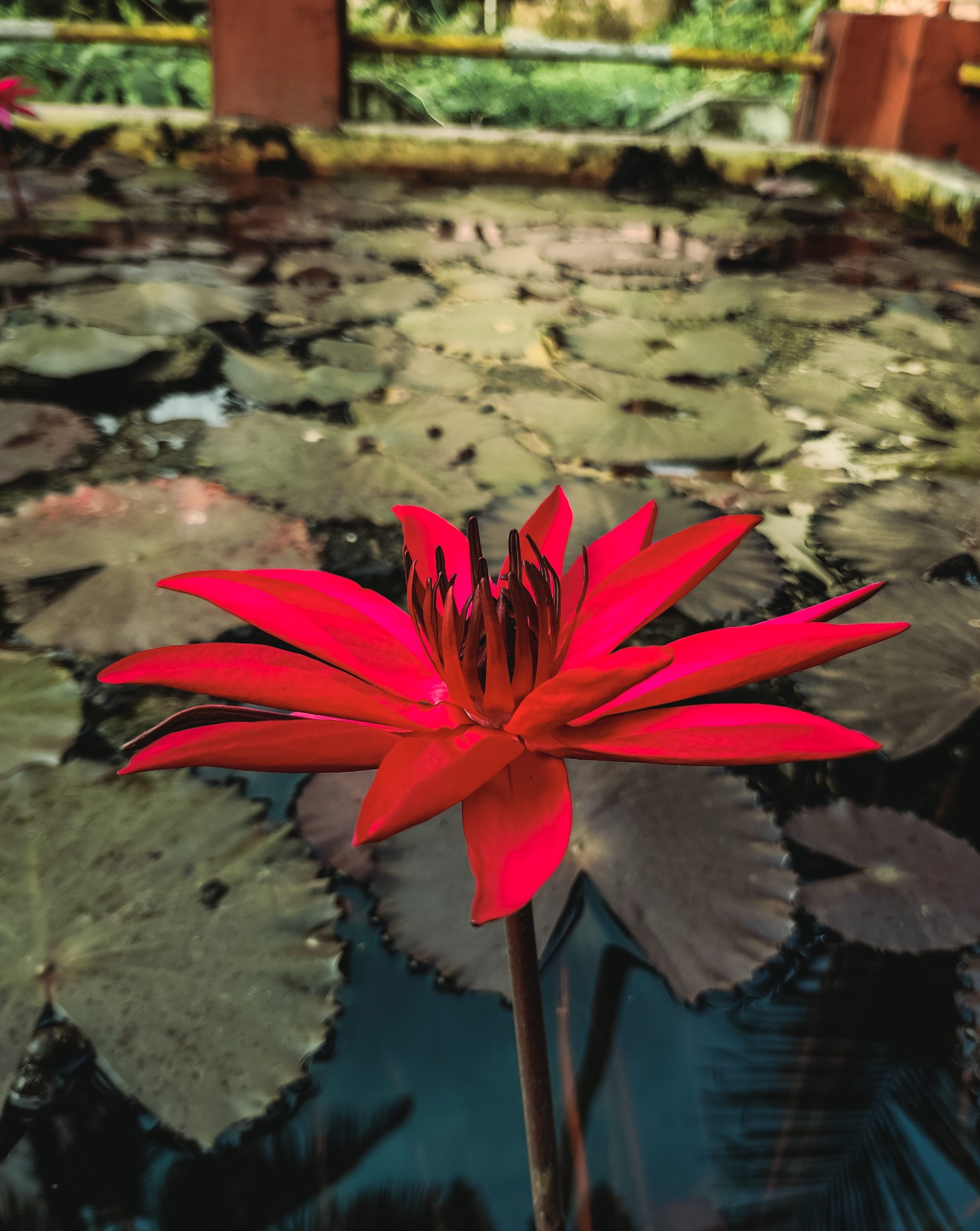 An aquatic flower