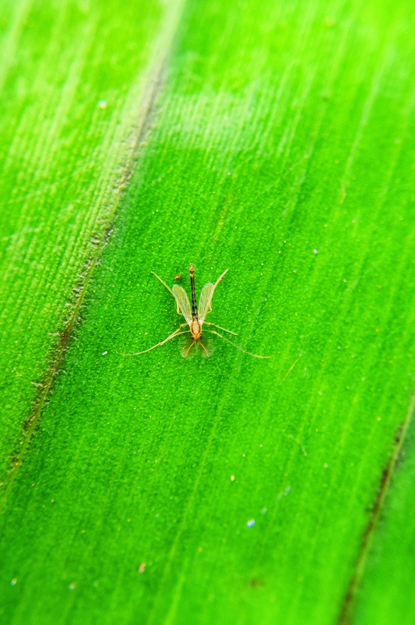 Tiny fly on banana leaf