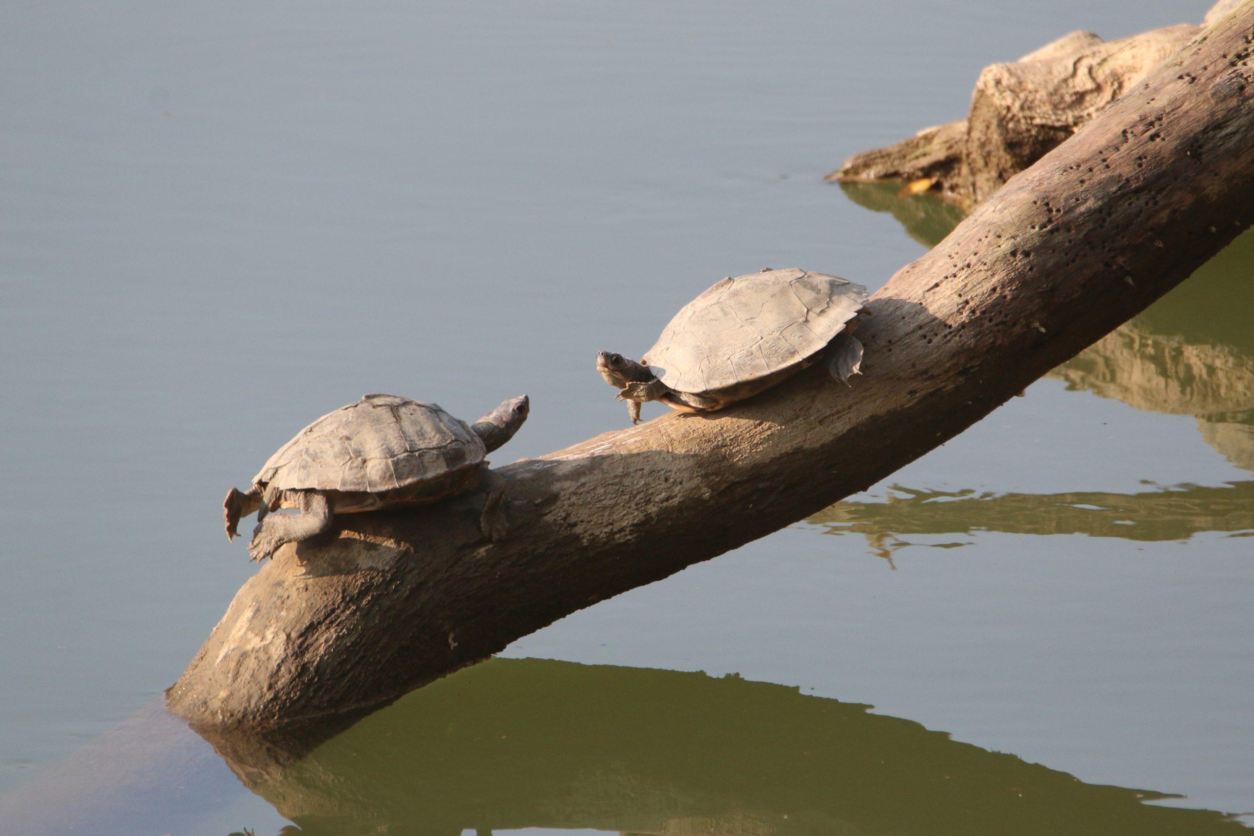 Turtle on wood log near river