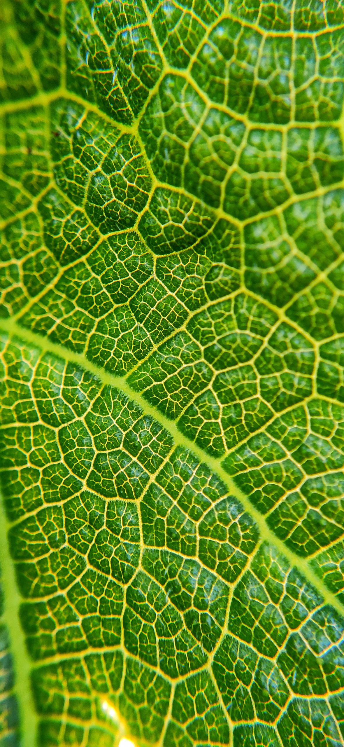 Veins of leaf