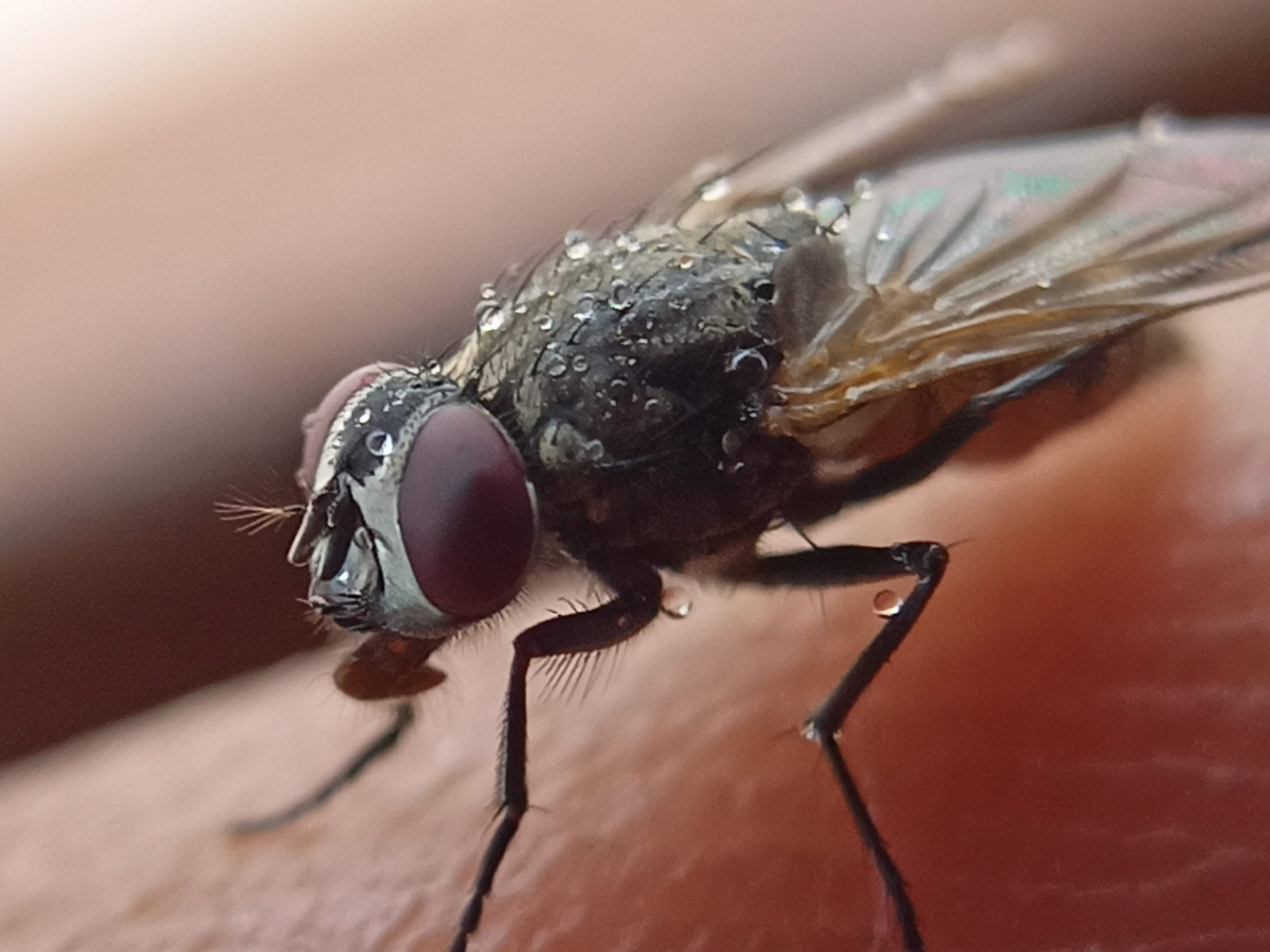 Water drops on housefly