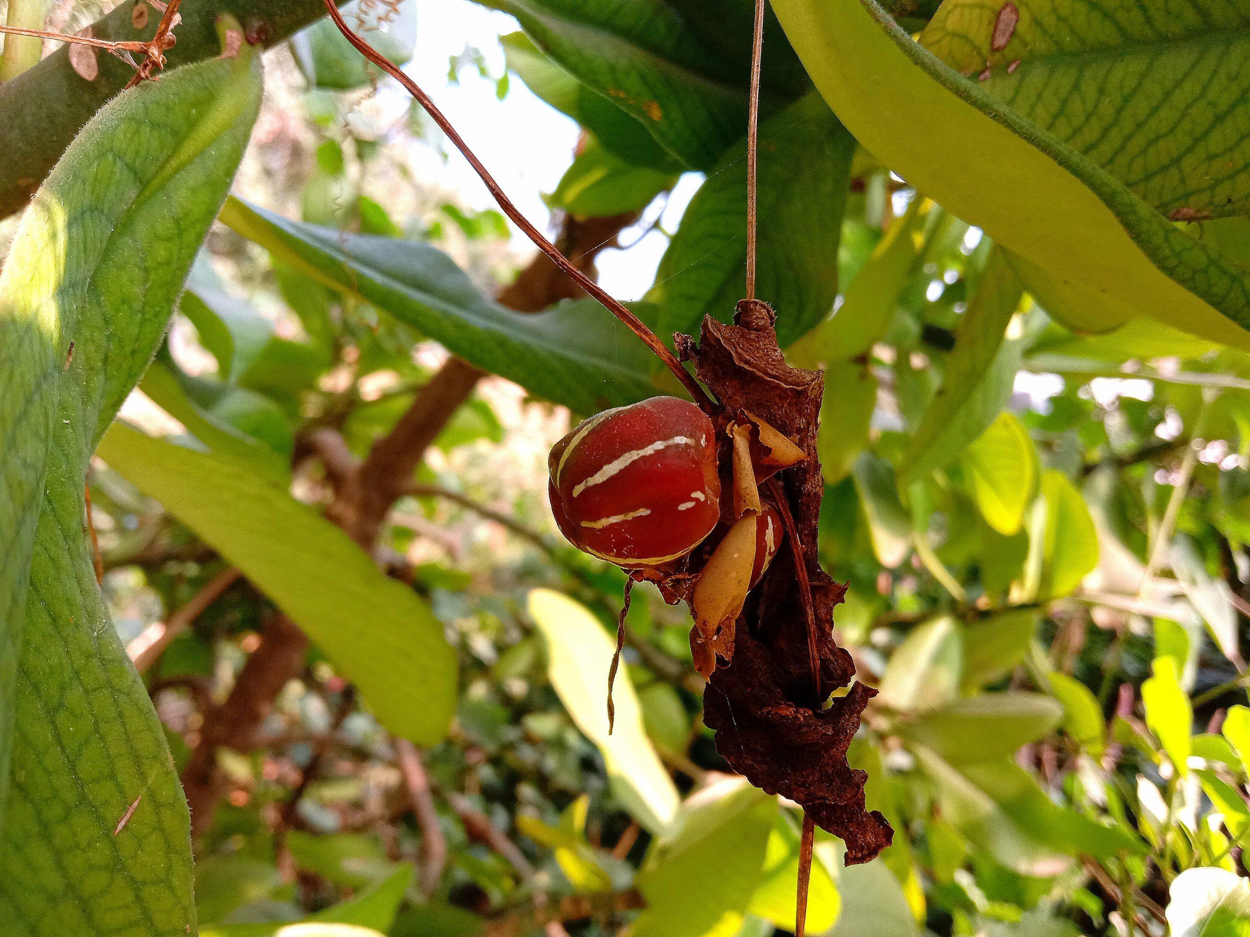 Wild fruit on the plant