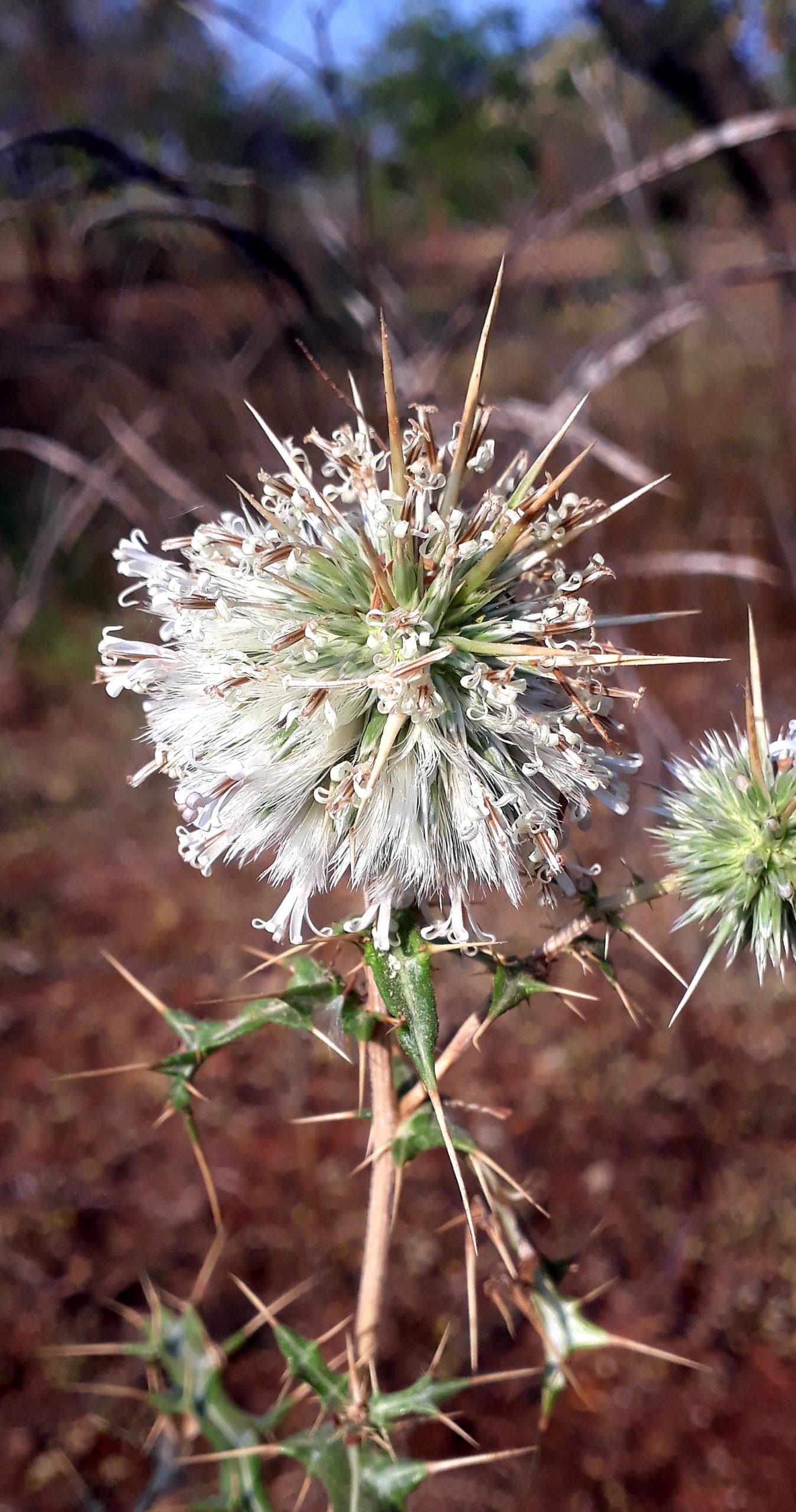 Wild thorny flower plant