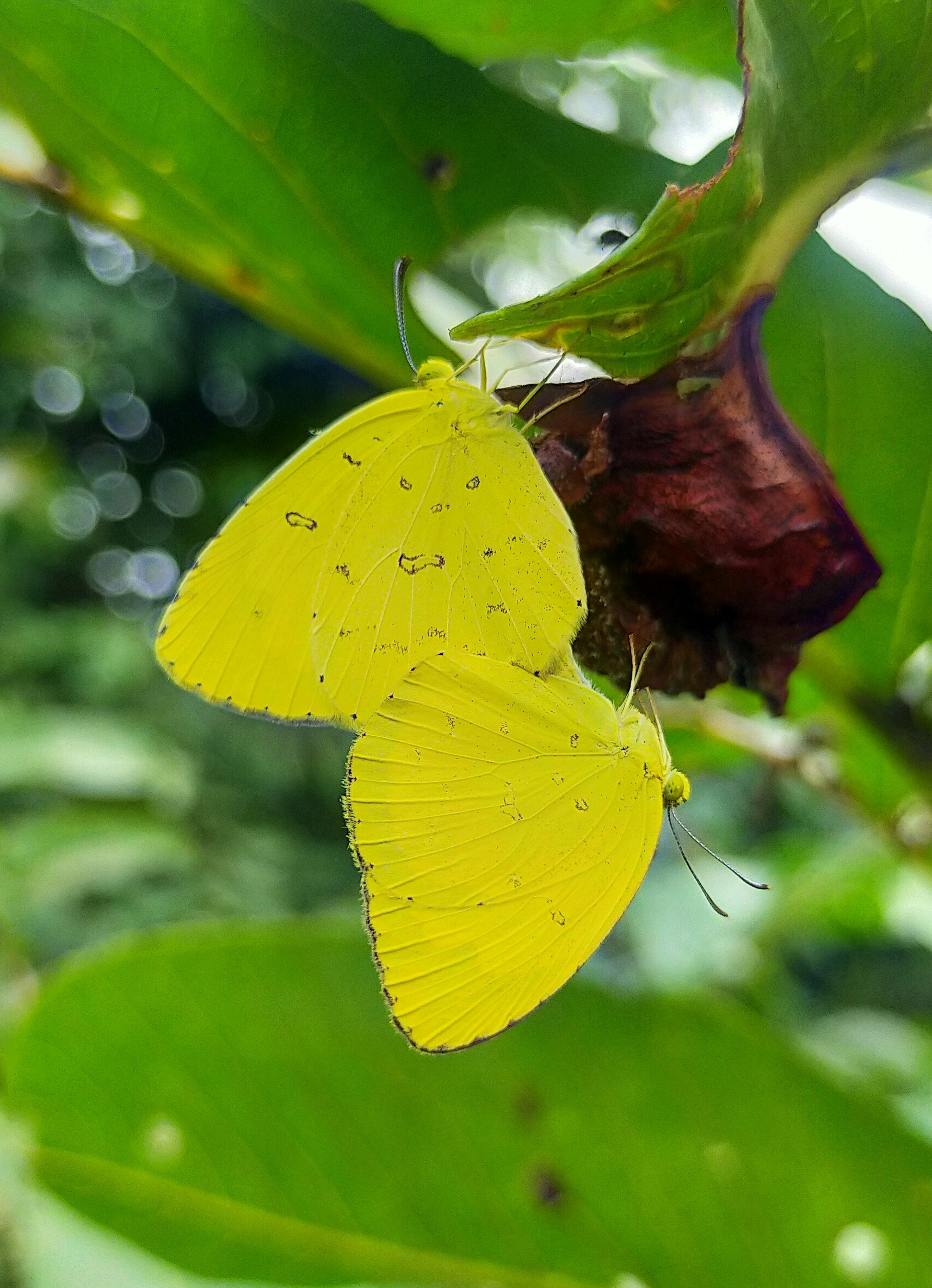 Yellow butterflies on a leaf