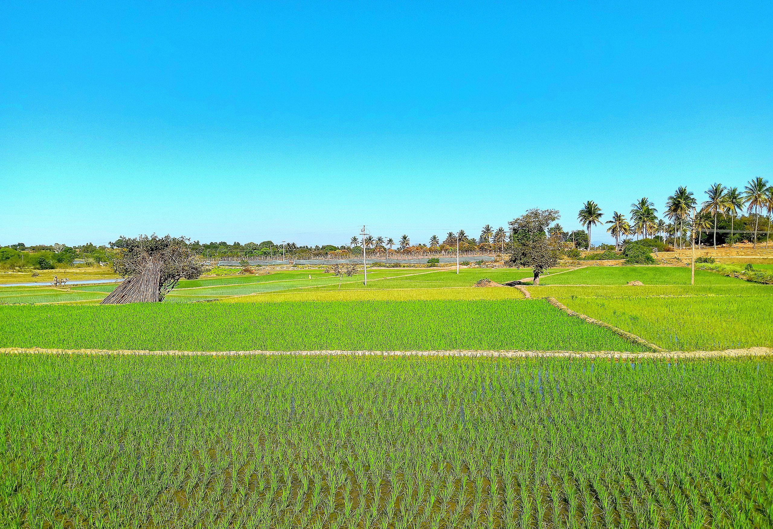 greenery of paddy fields