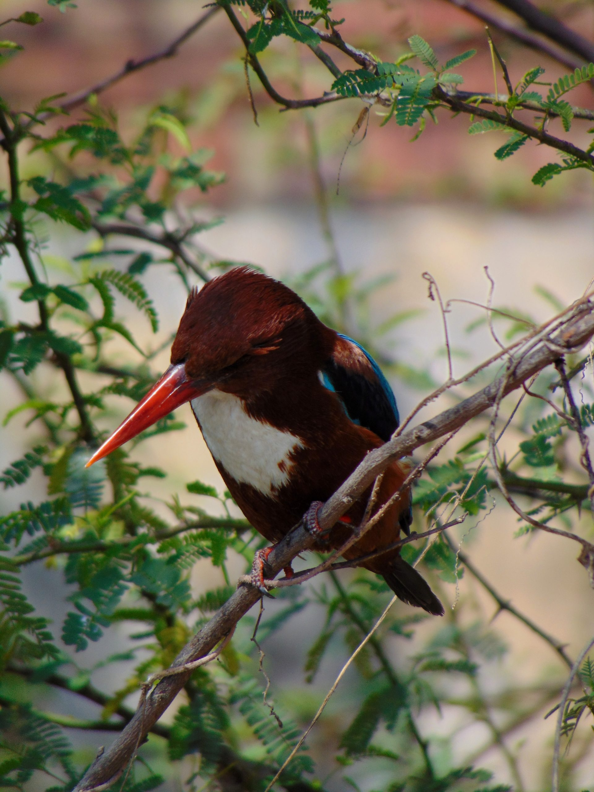 A Kingfisher bird on a branch