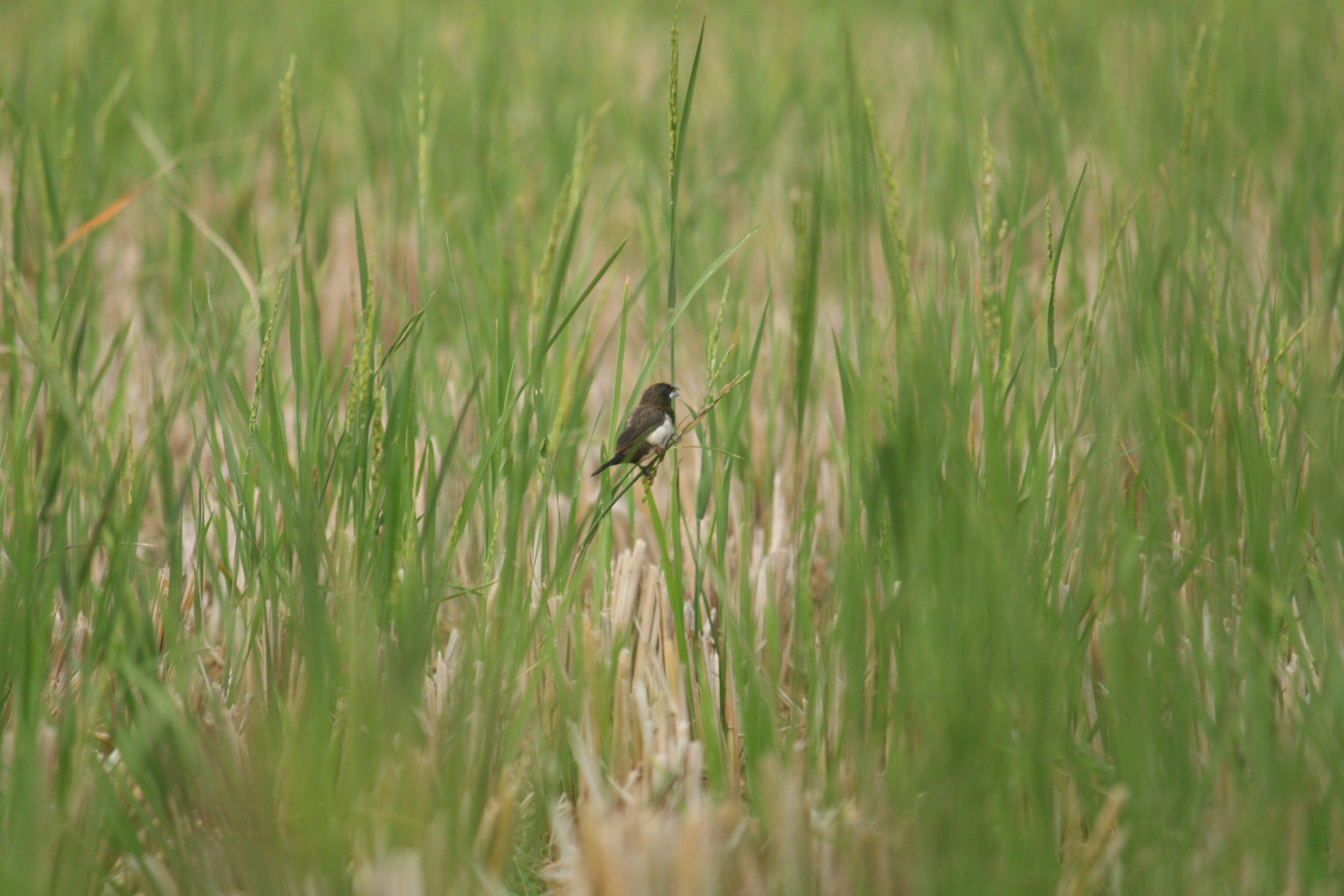 A bird in a paddy field
