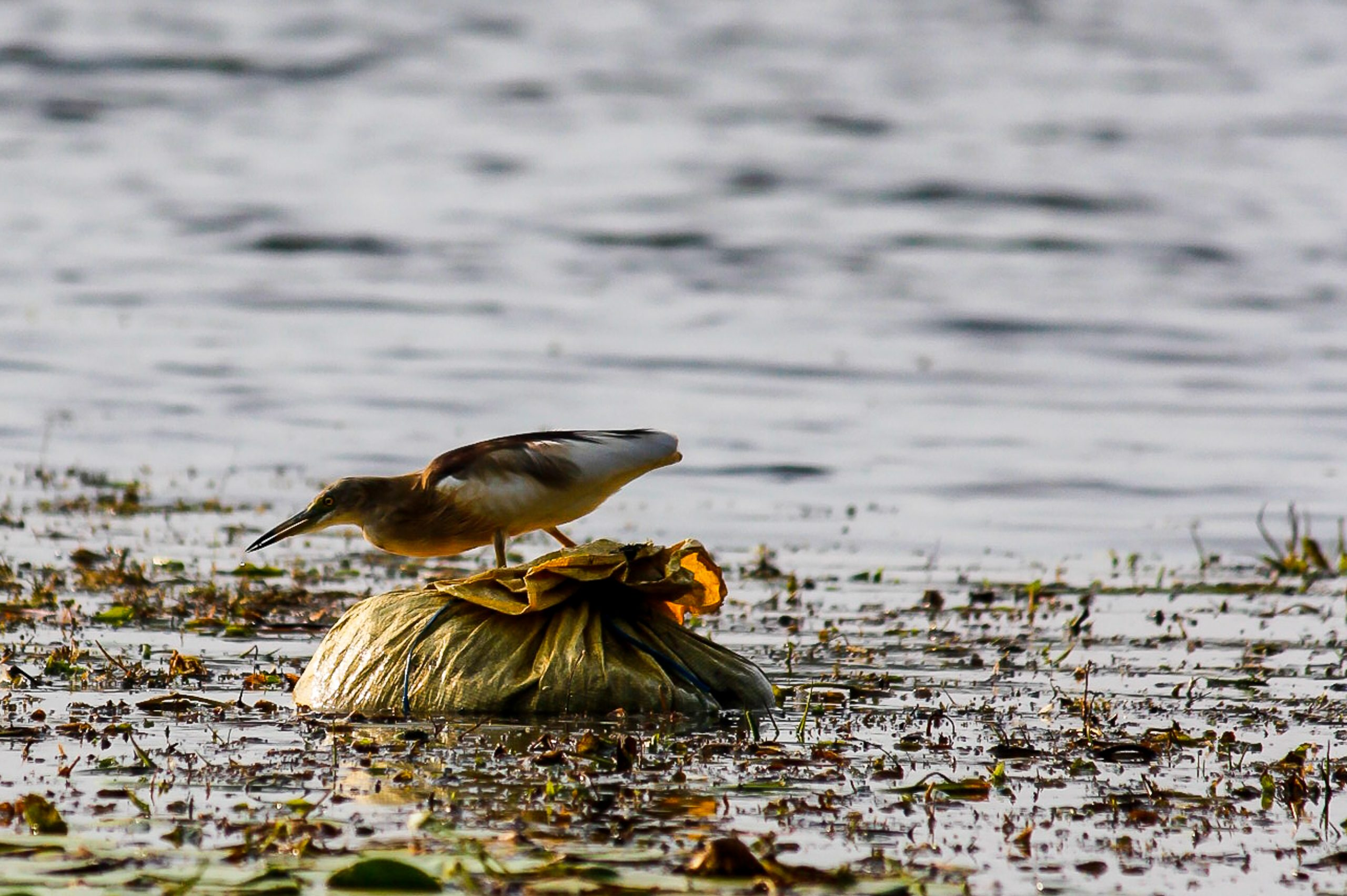 A bird in a polluted pond
