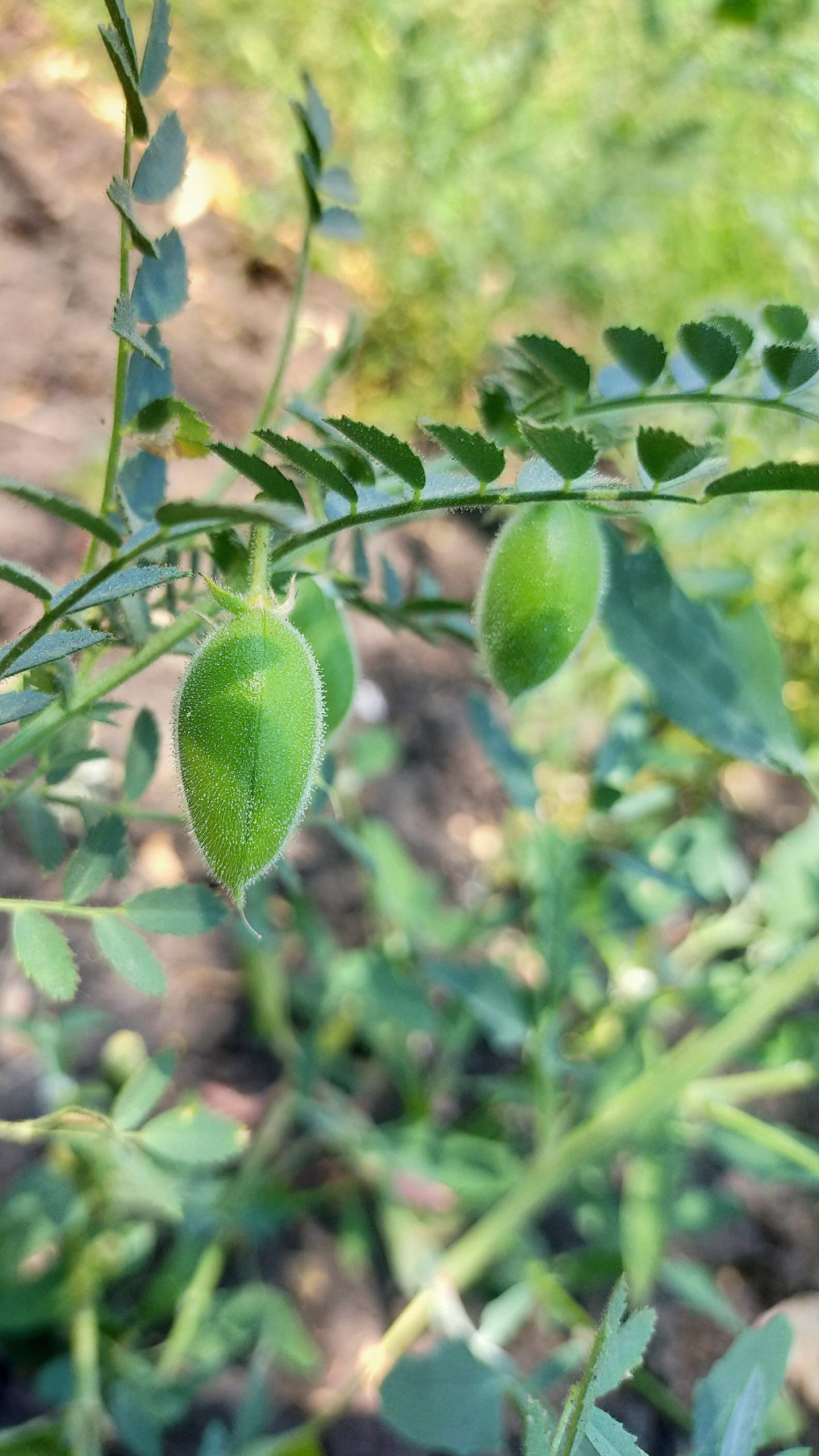A chickpea plant