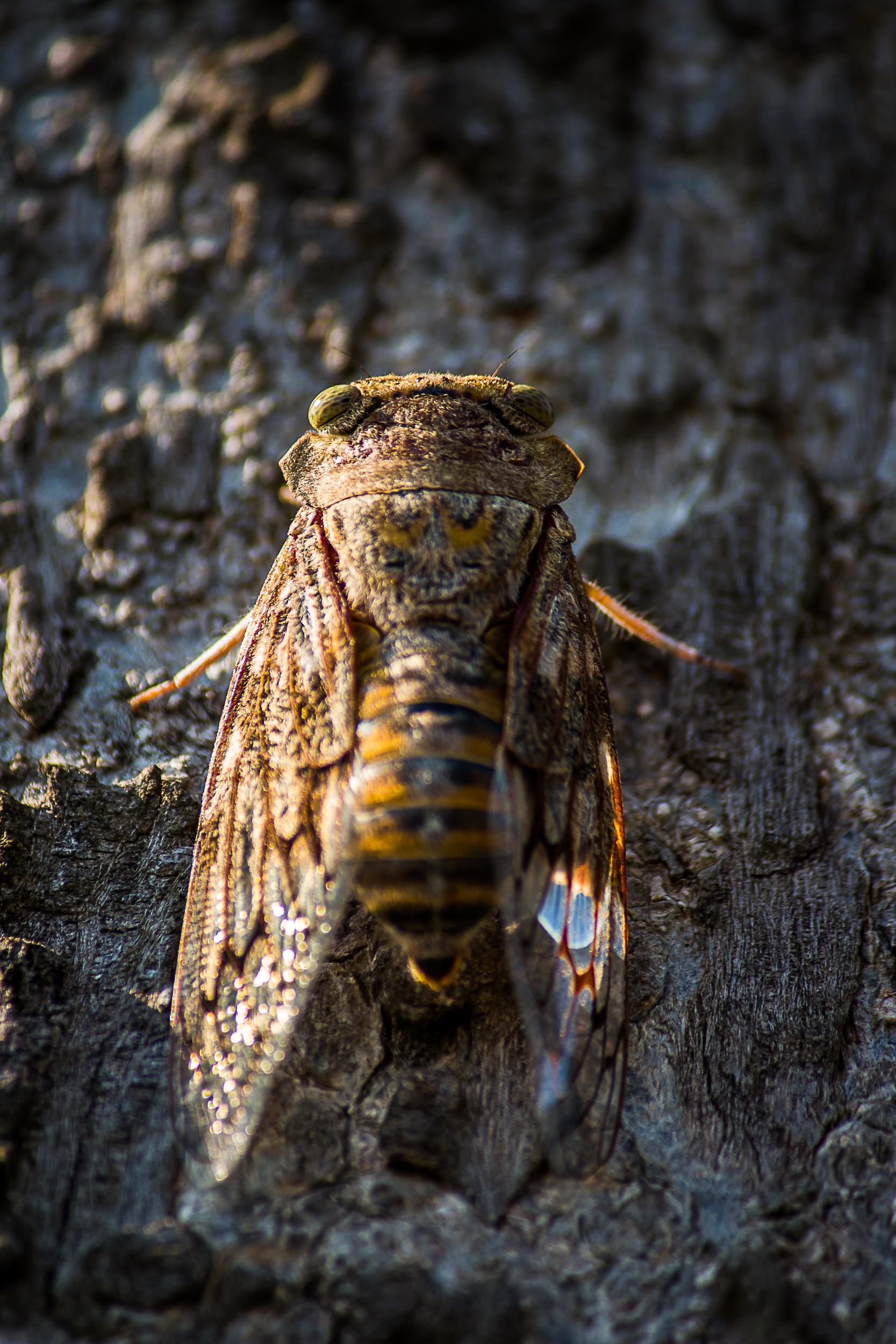 A cicadas fly