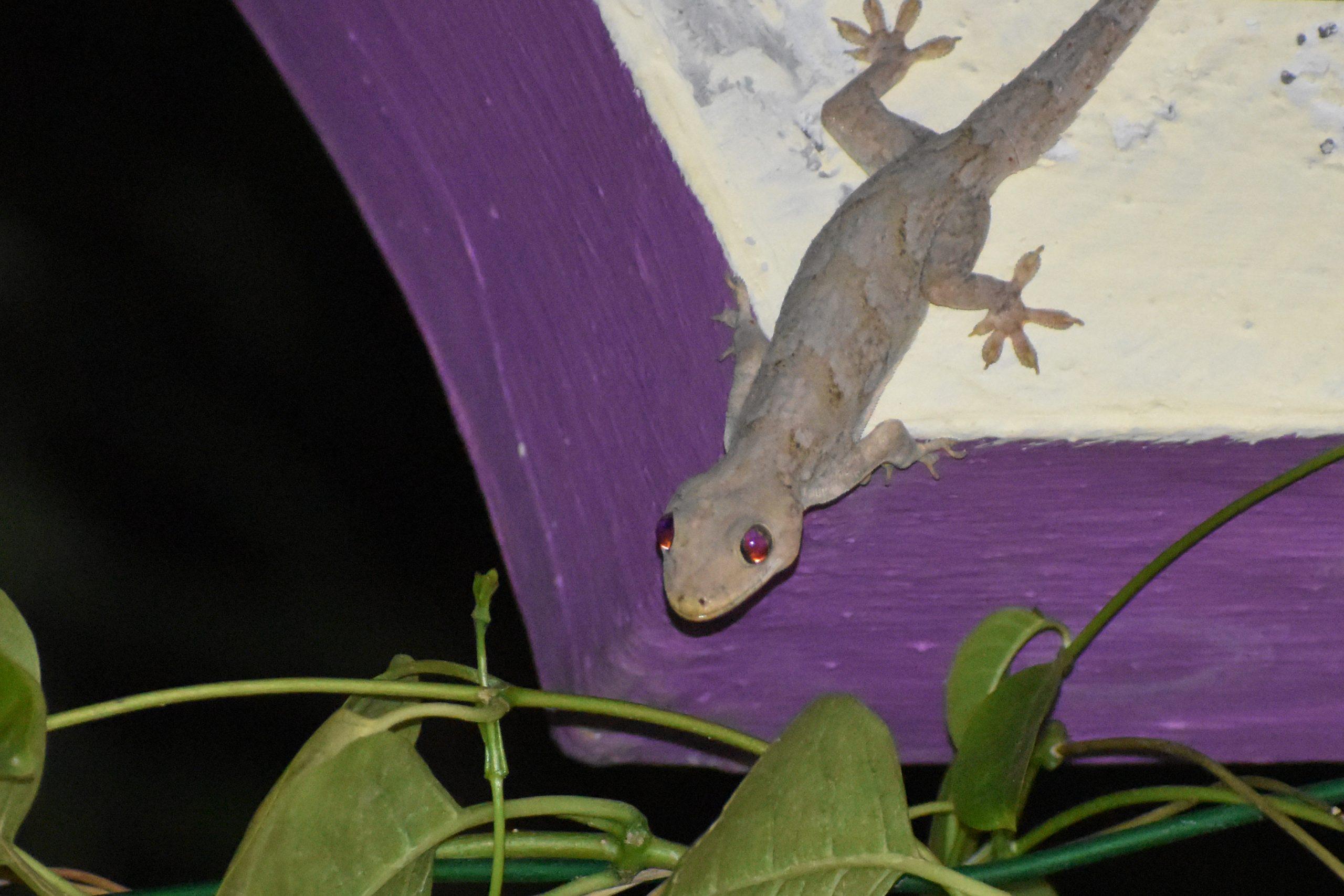 A common wall lizard