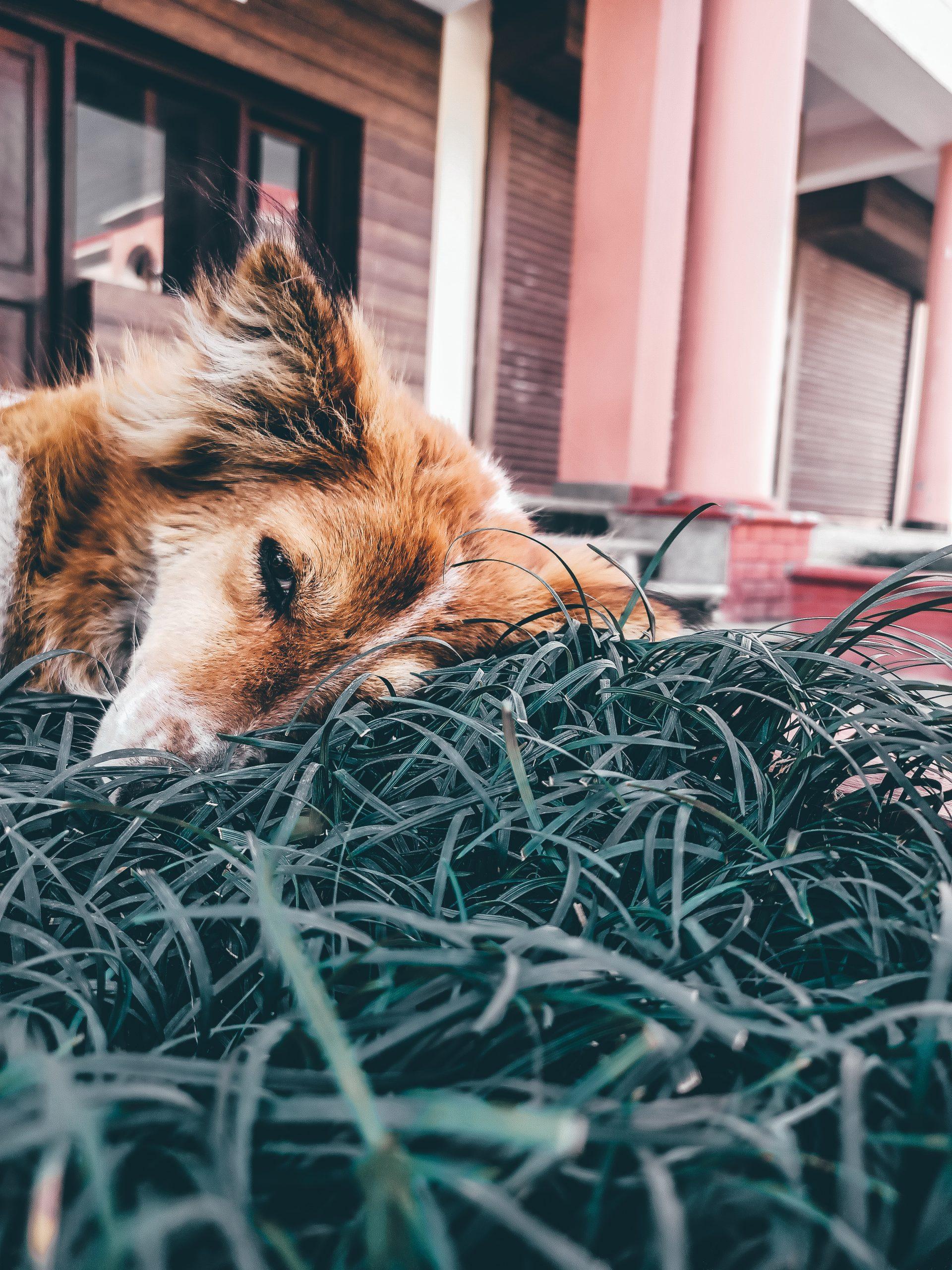 A dog sleeping on the grass
