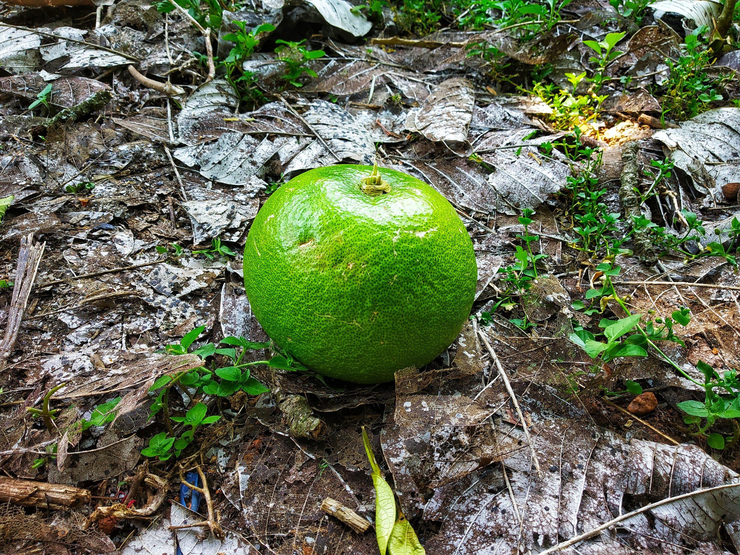 A fallen green orange