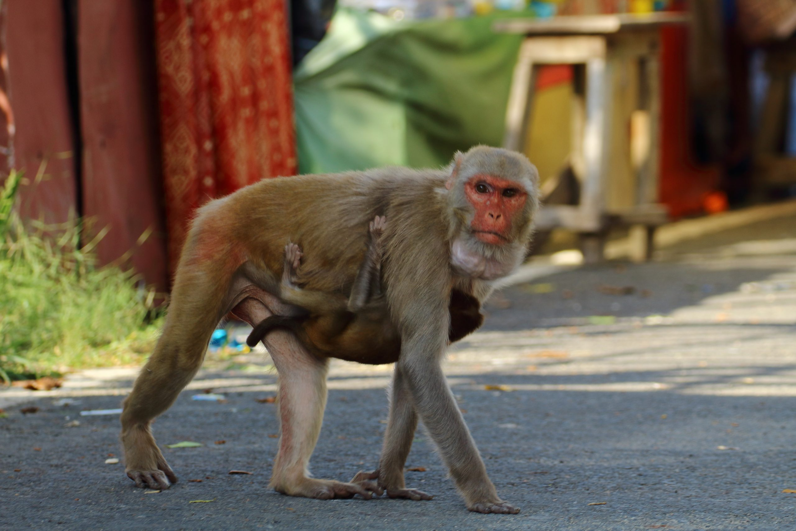 A female monkey carrying her baby