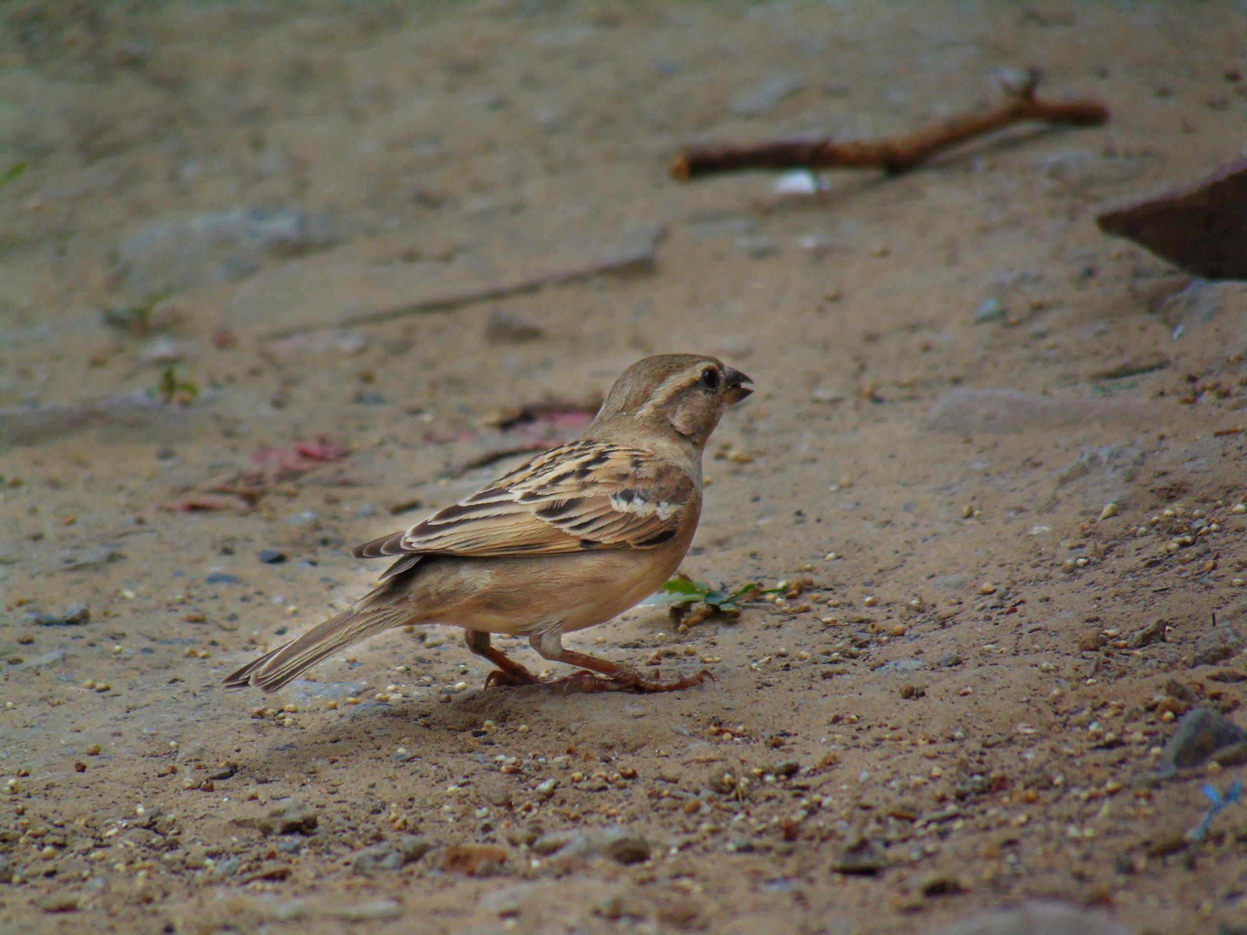 A female sparrow