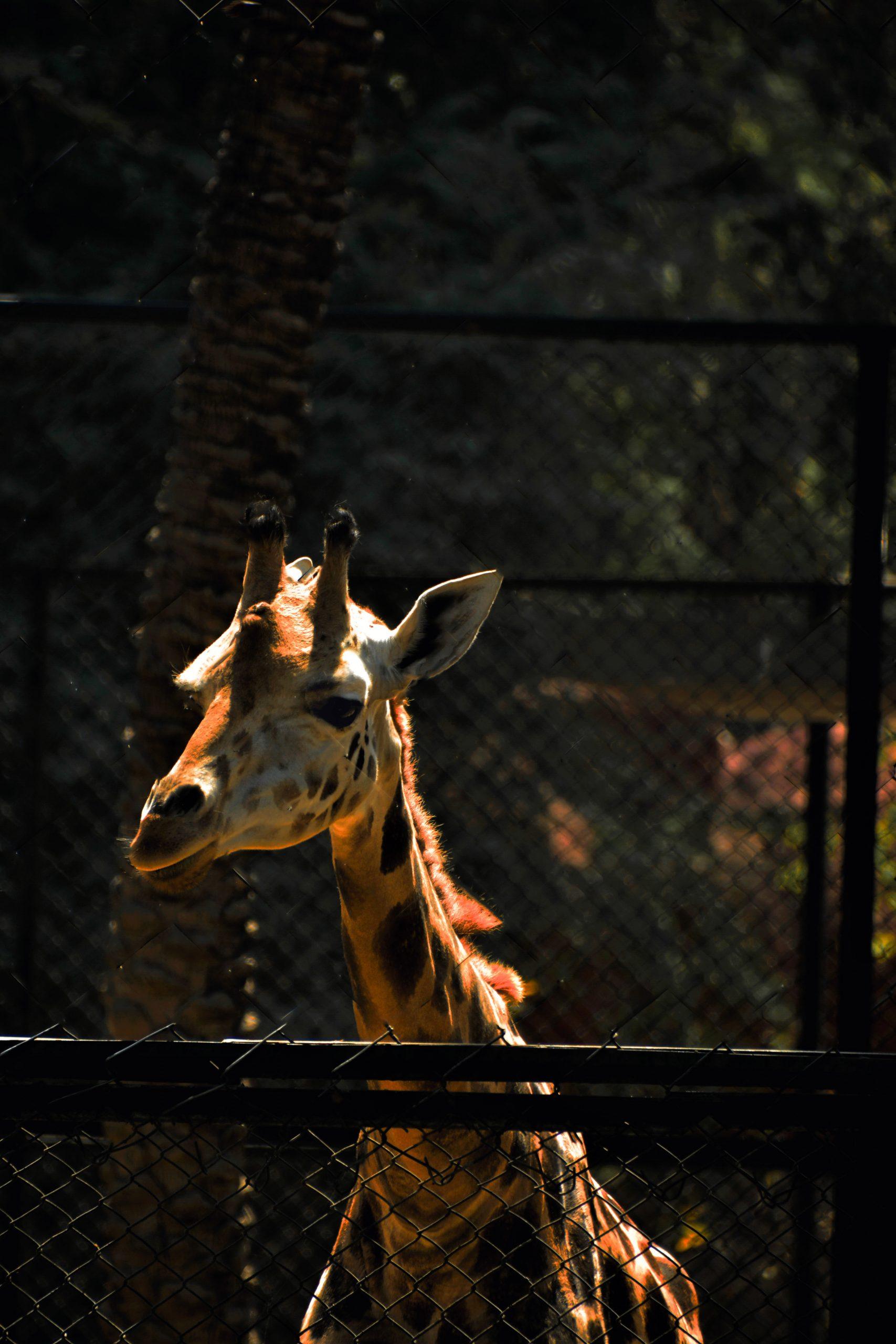 A giraffe in a zoo