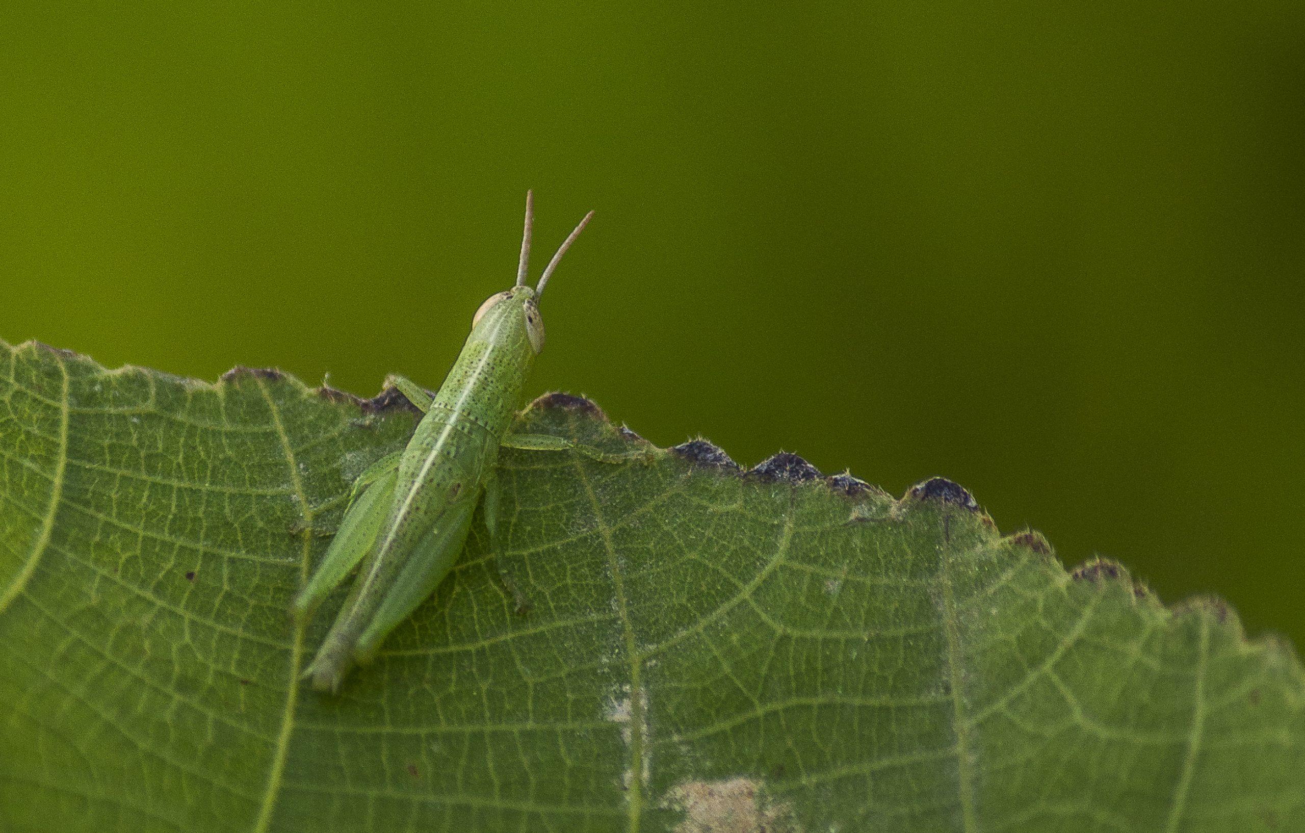 A grasshopper on a green leaf