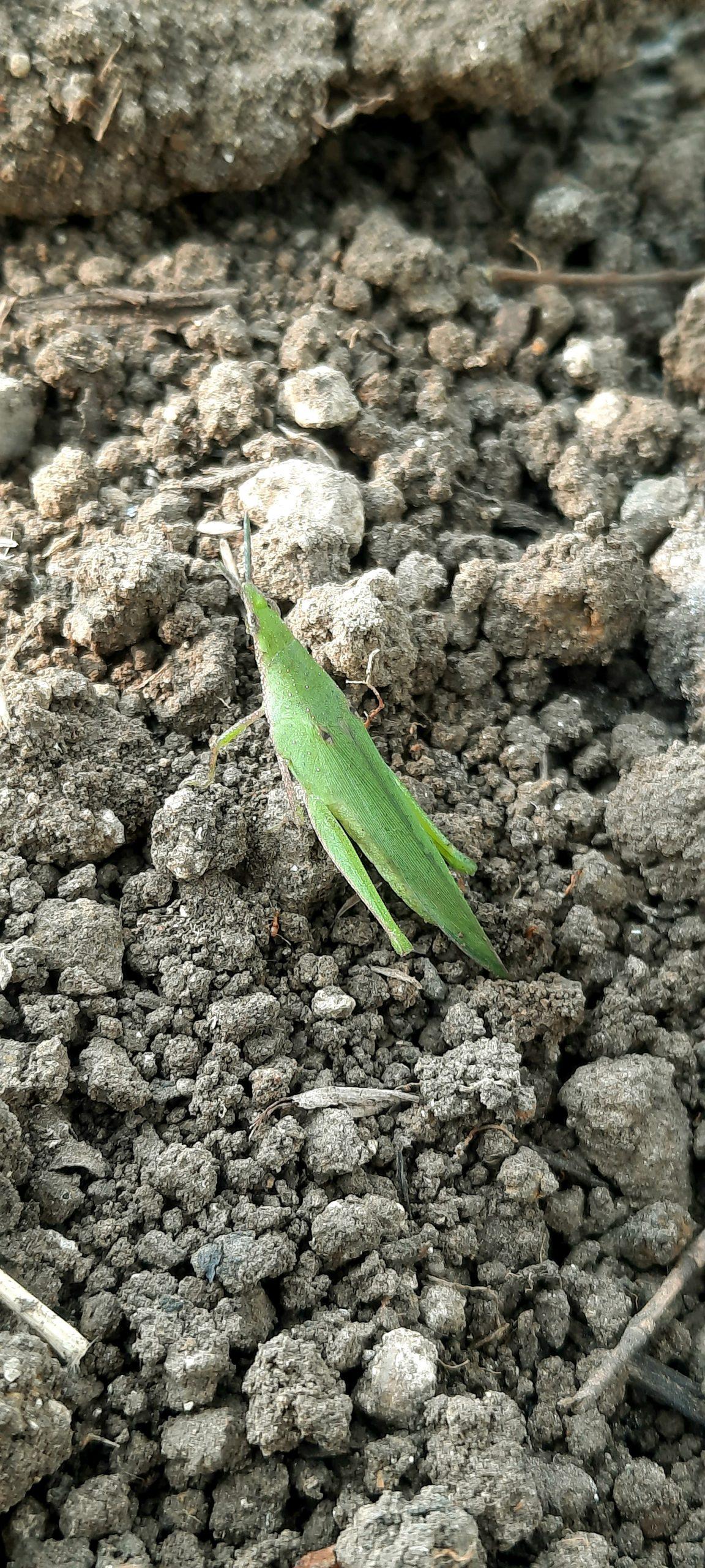 A grasshopper on soil