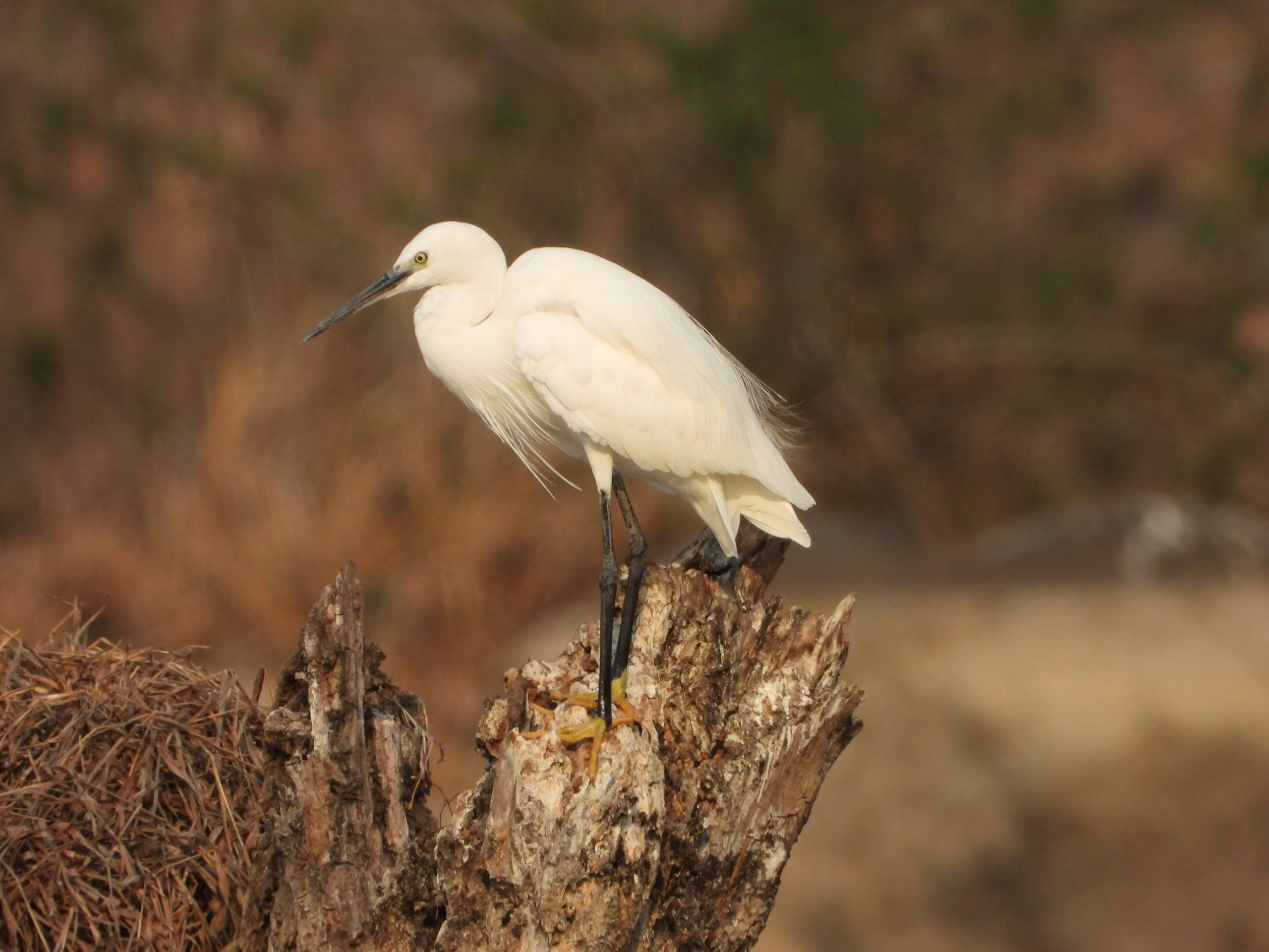 A great egret on a wood