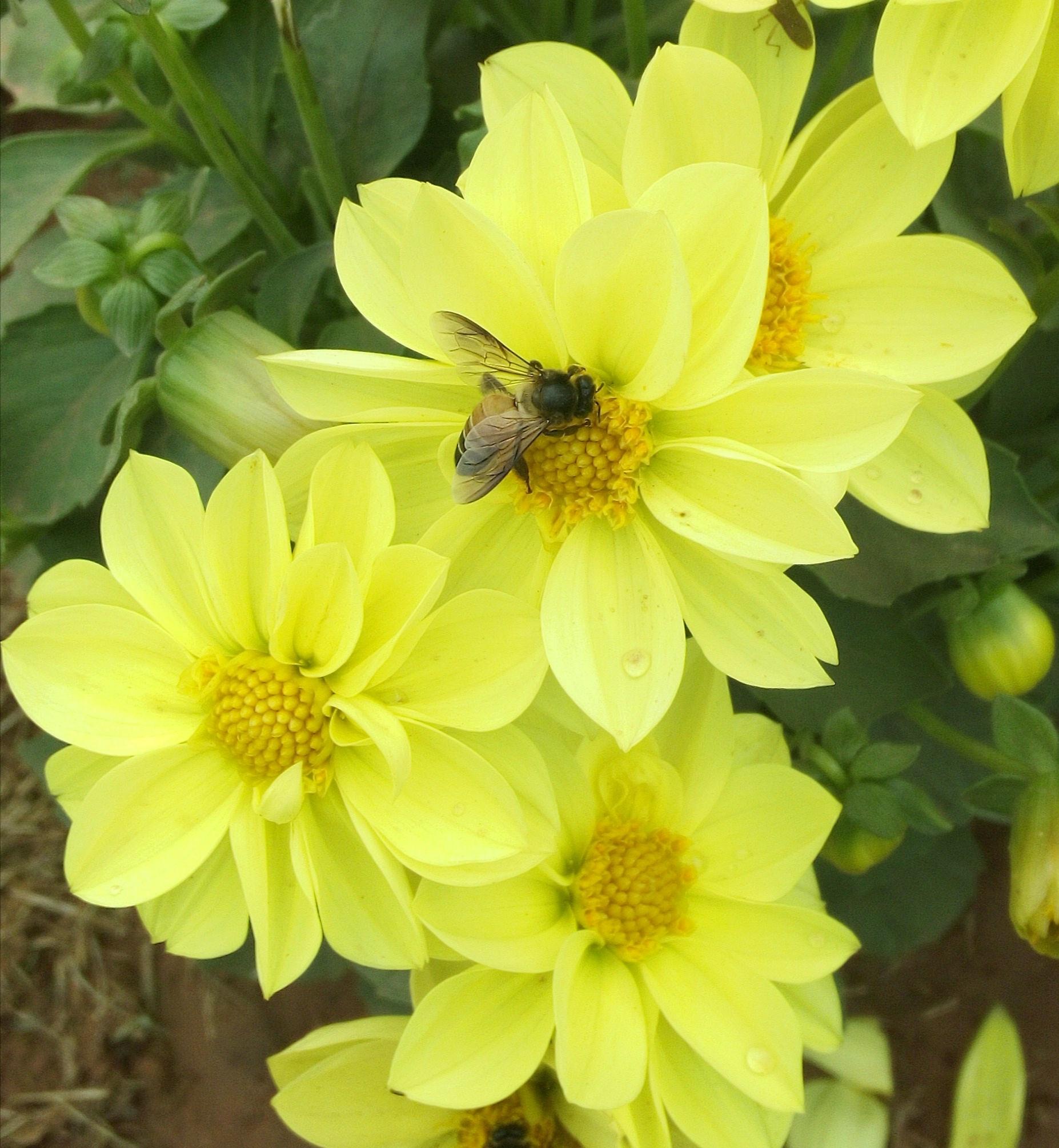 A honeybee on yellow flowers