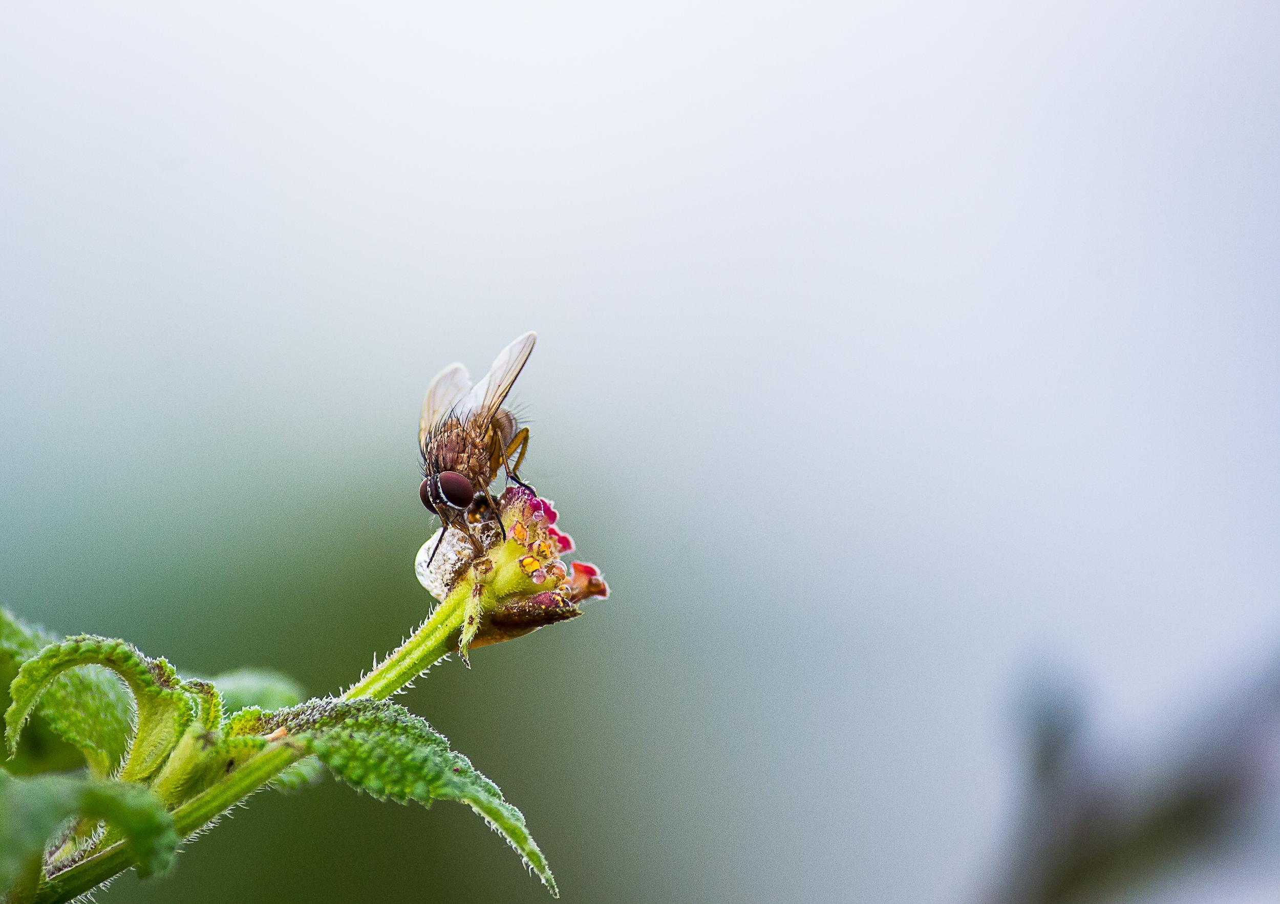 A housefly on a plant bud