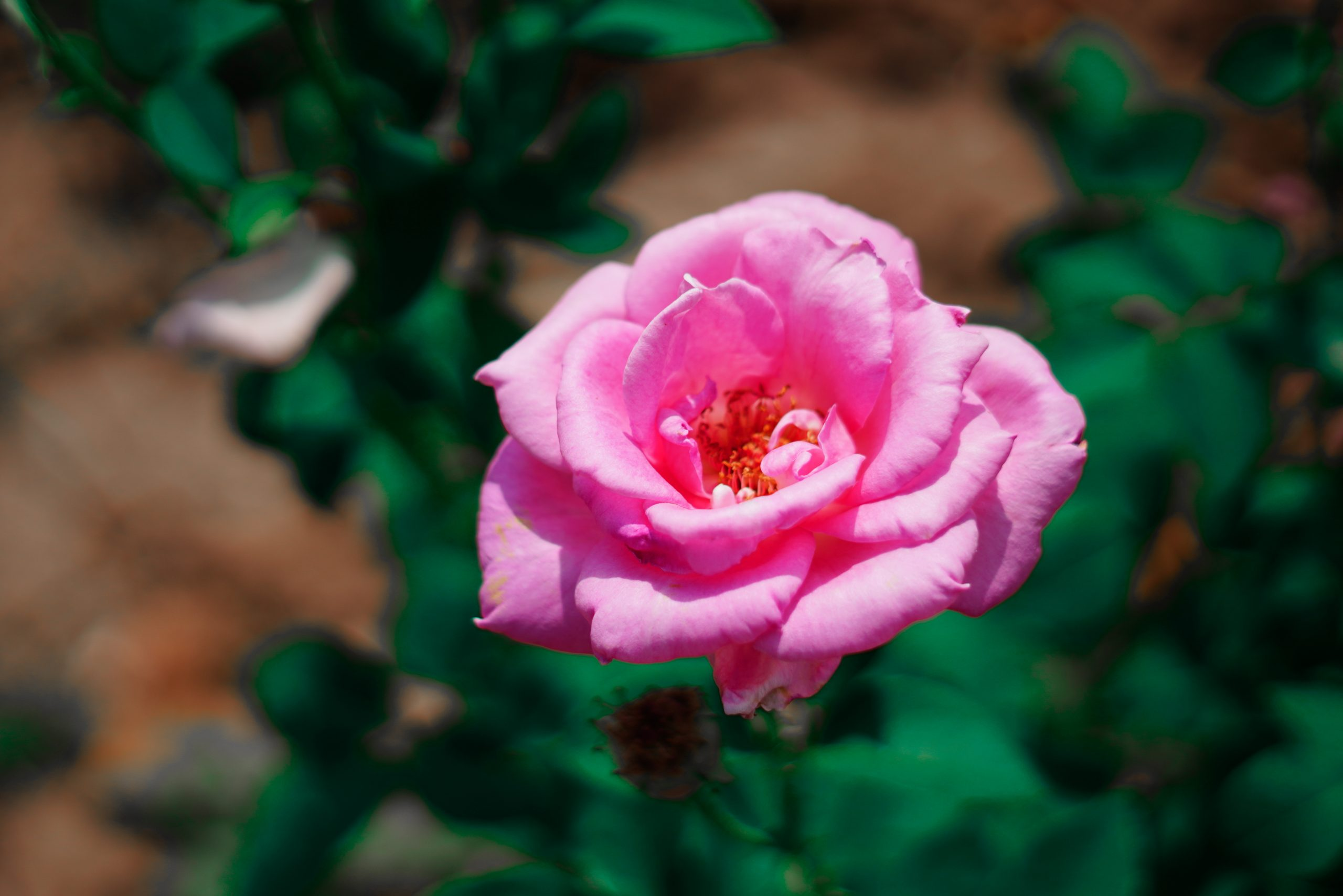 A light pink rose