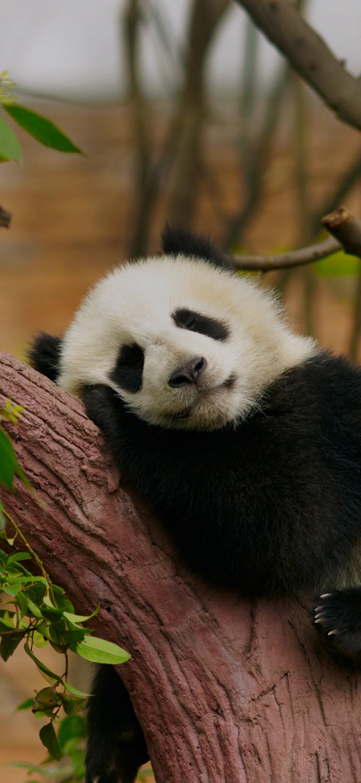 A panda resting on a tree