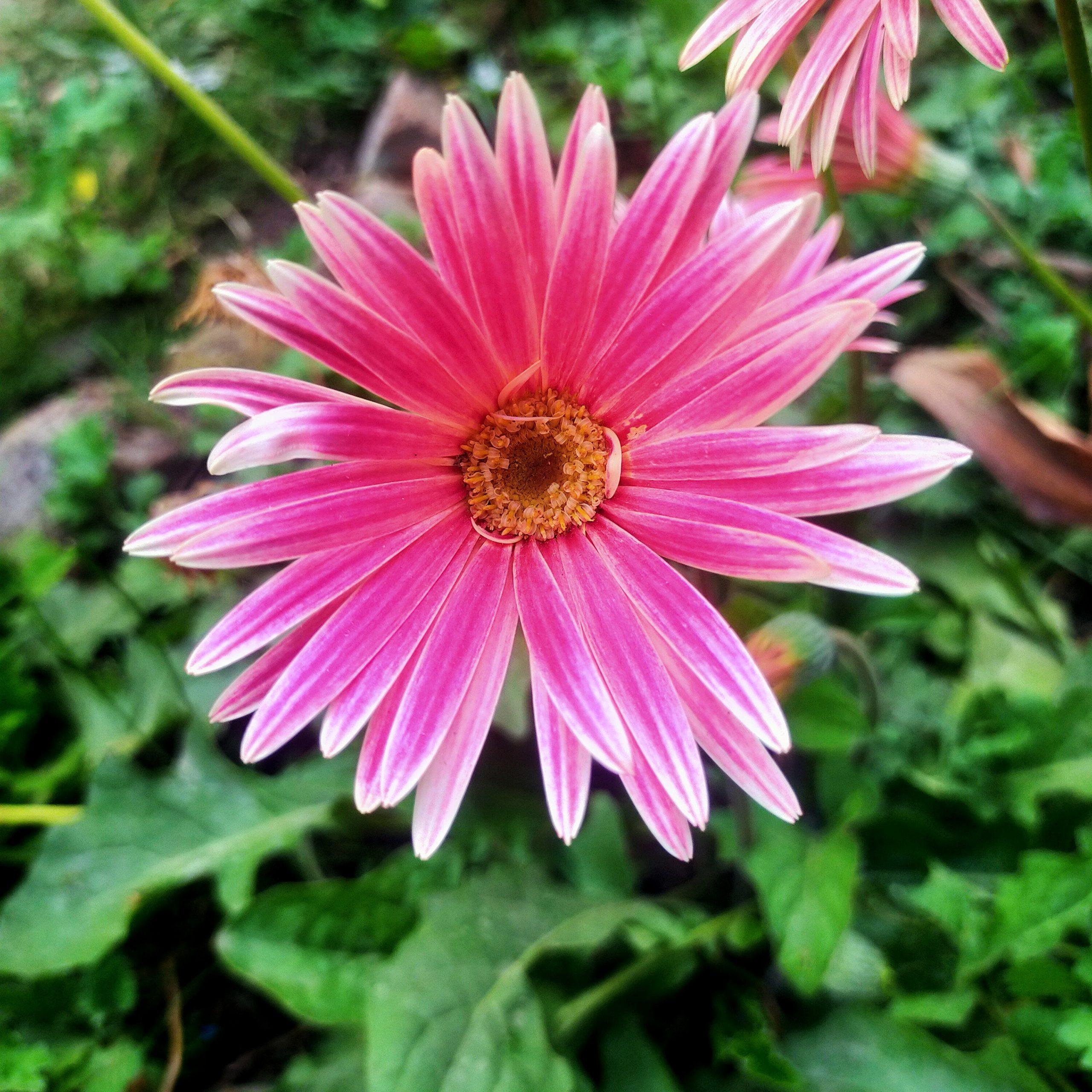 A pink daisy flower