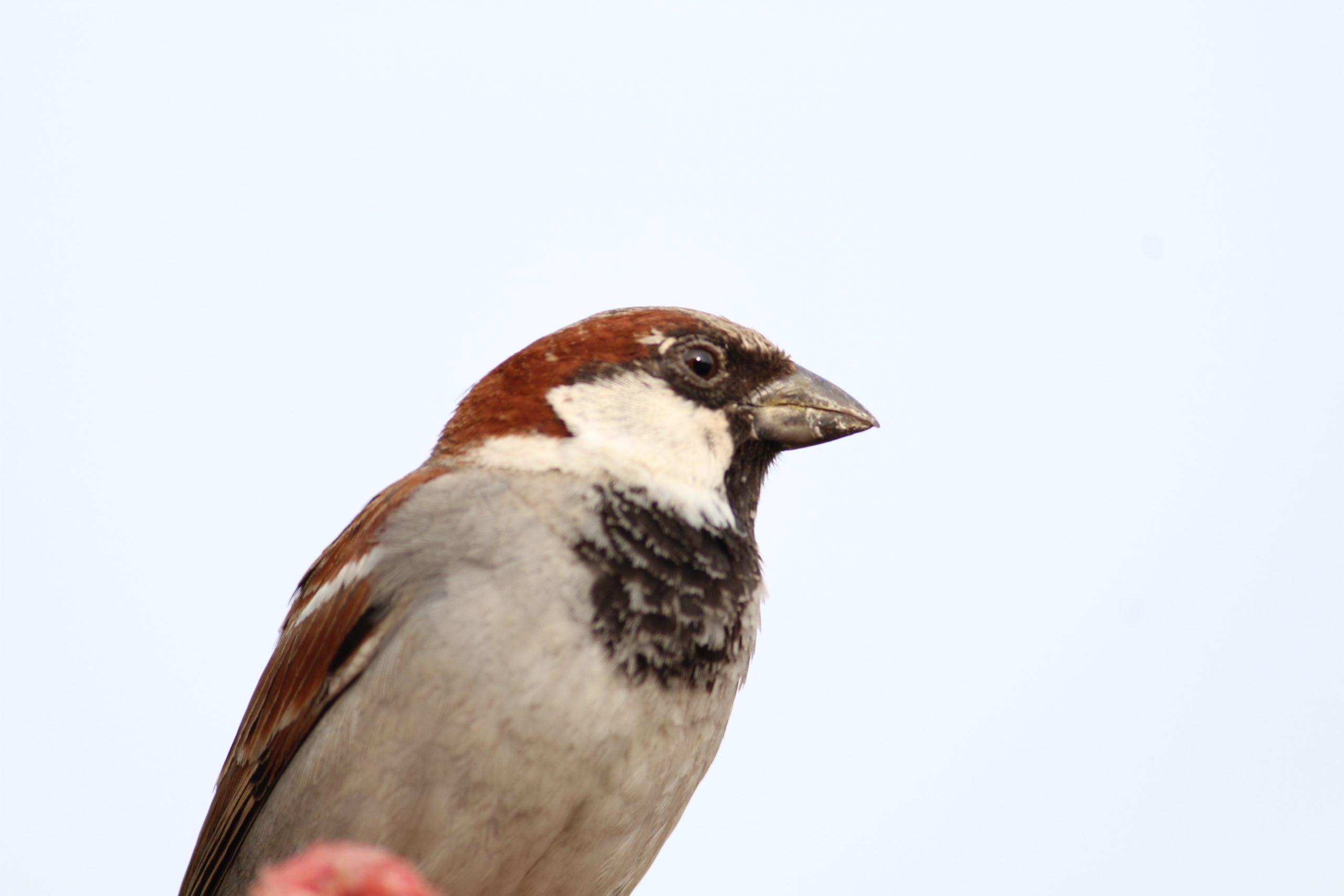 A sparrow