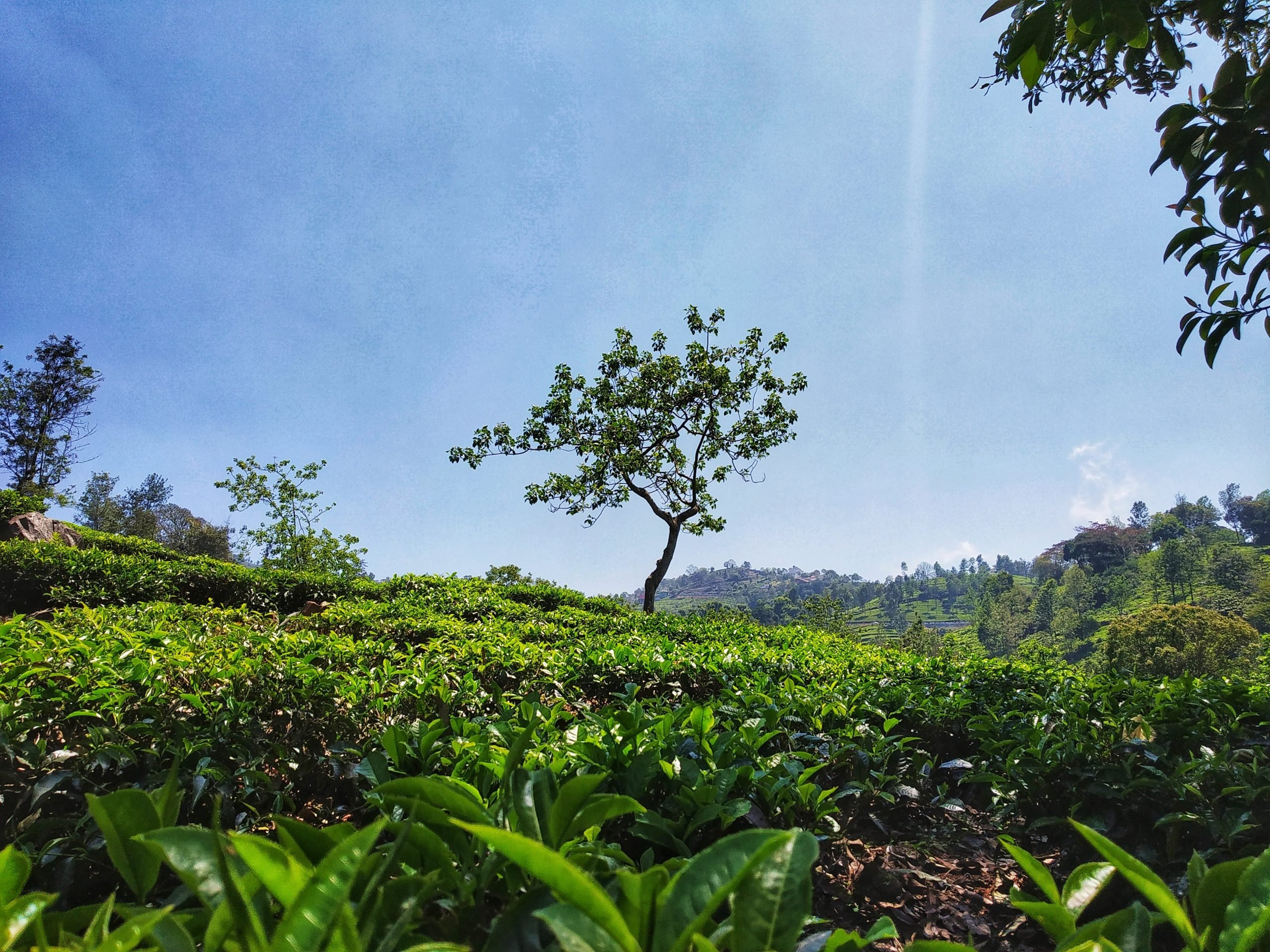 A tea garden
