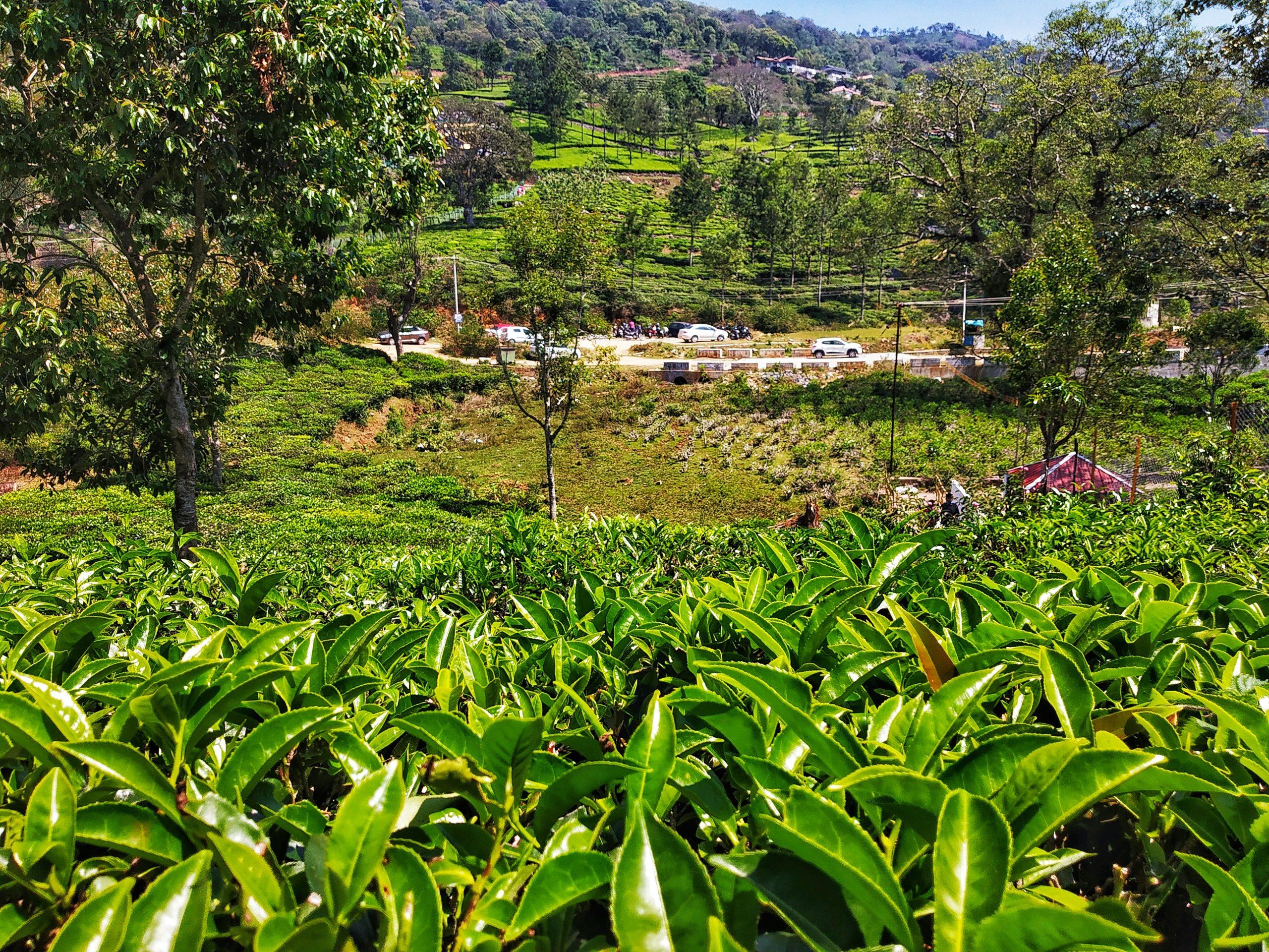 A tea garden in Kothagiri