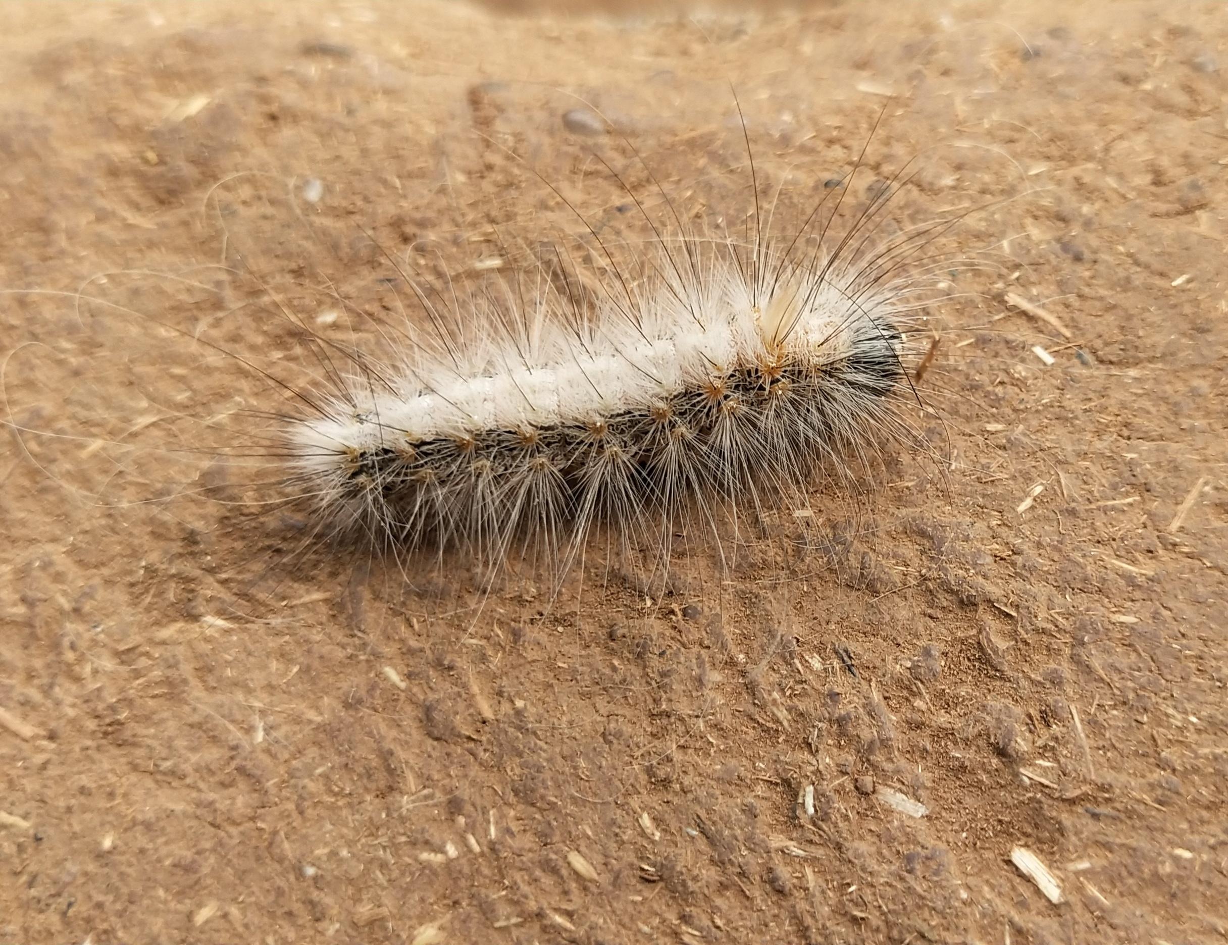 A thorny caterpillar
