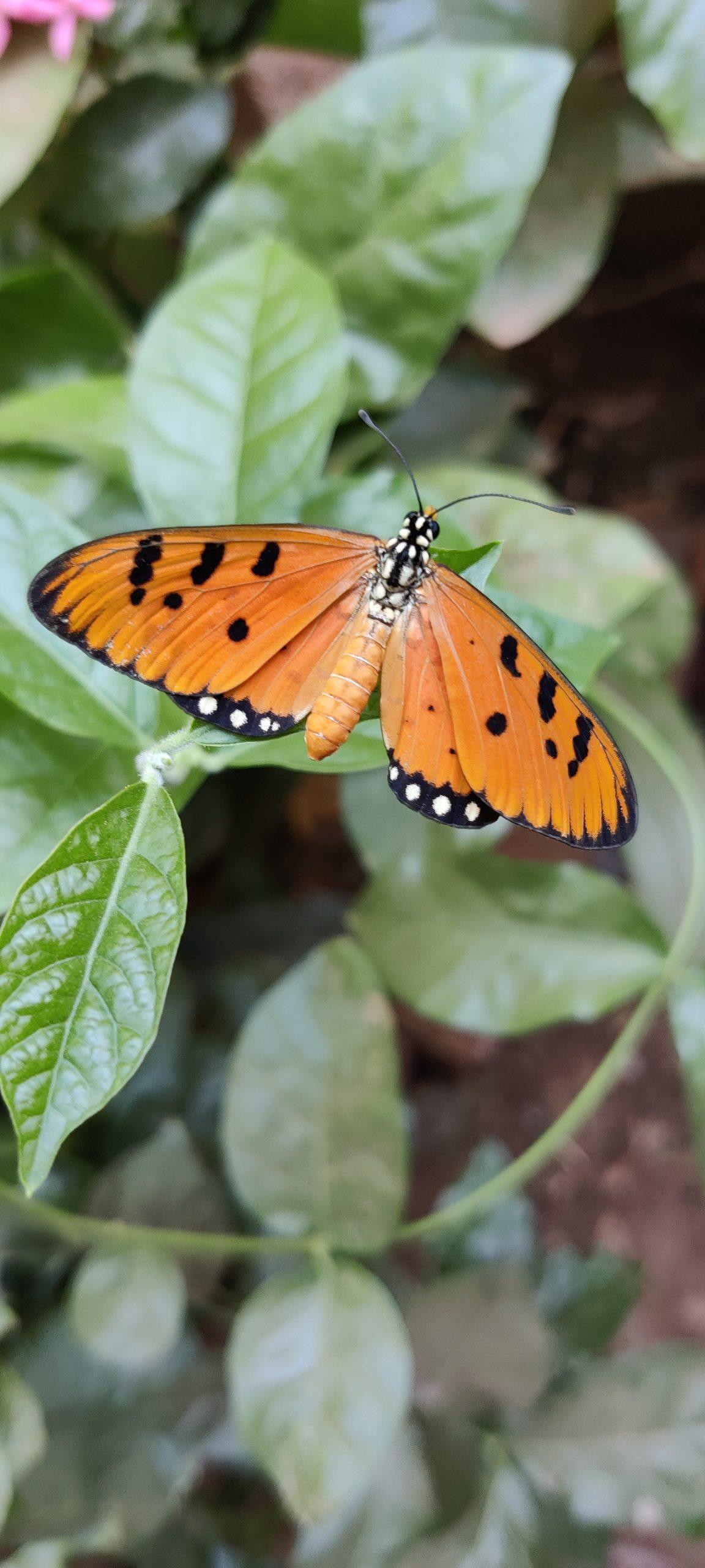 Acraea terpsicore butterfly