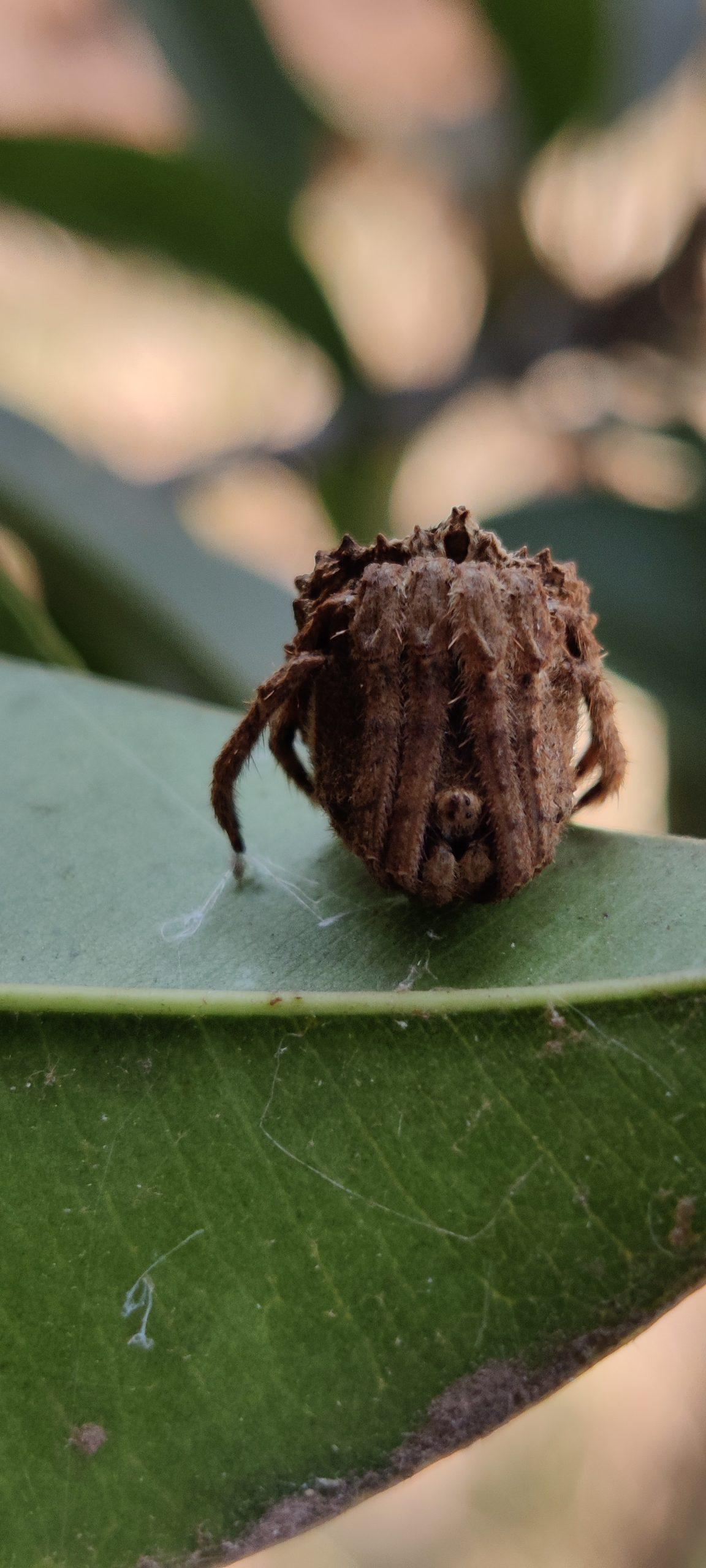 Acraea terpsicore spider