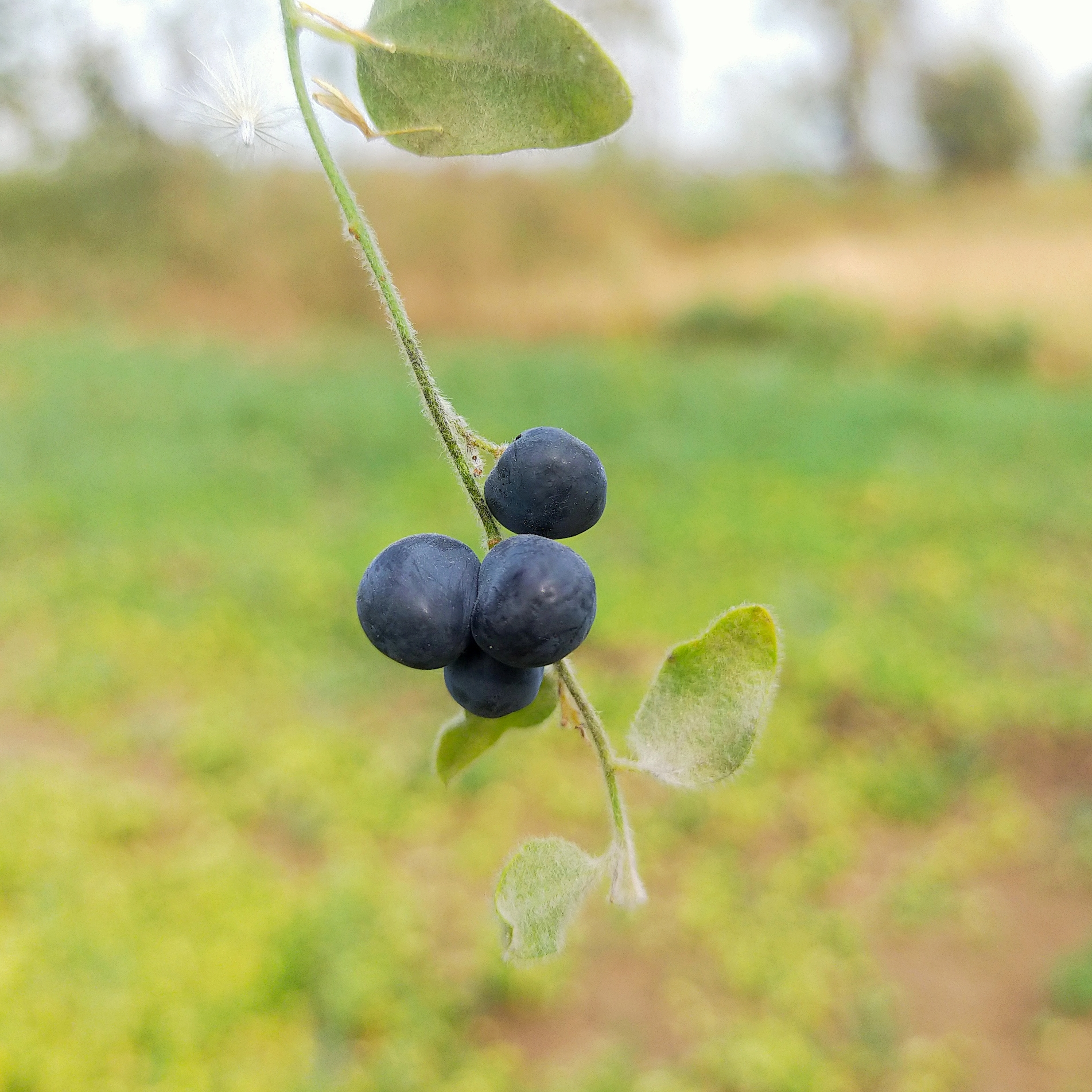 Black berries of a plant