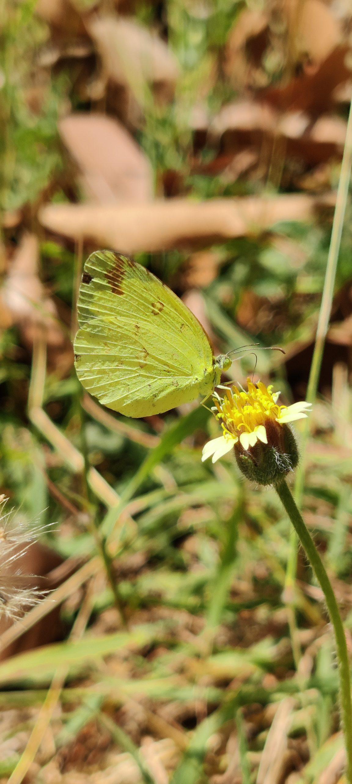 Butterfly on flower bud