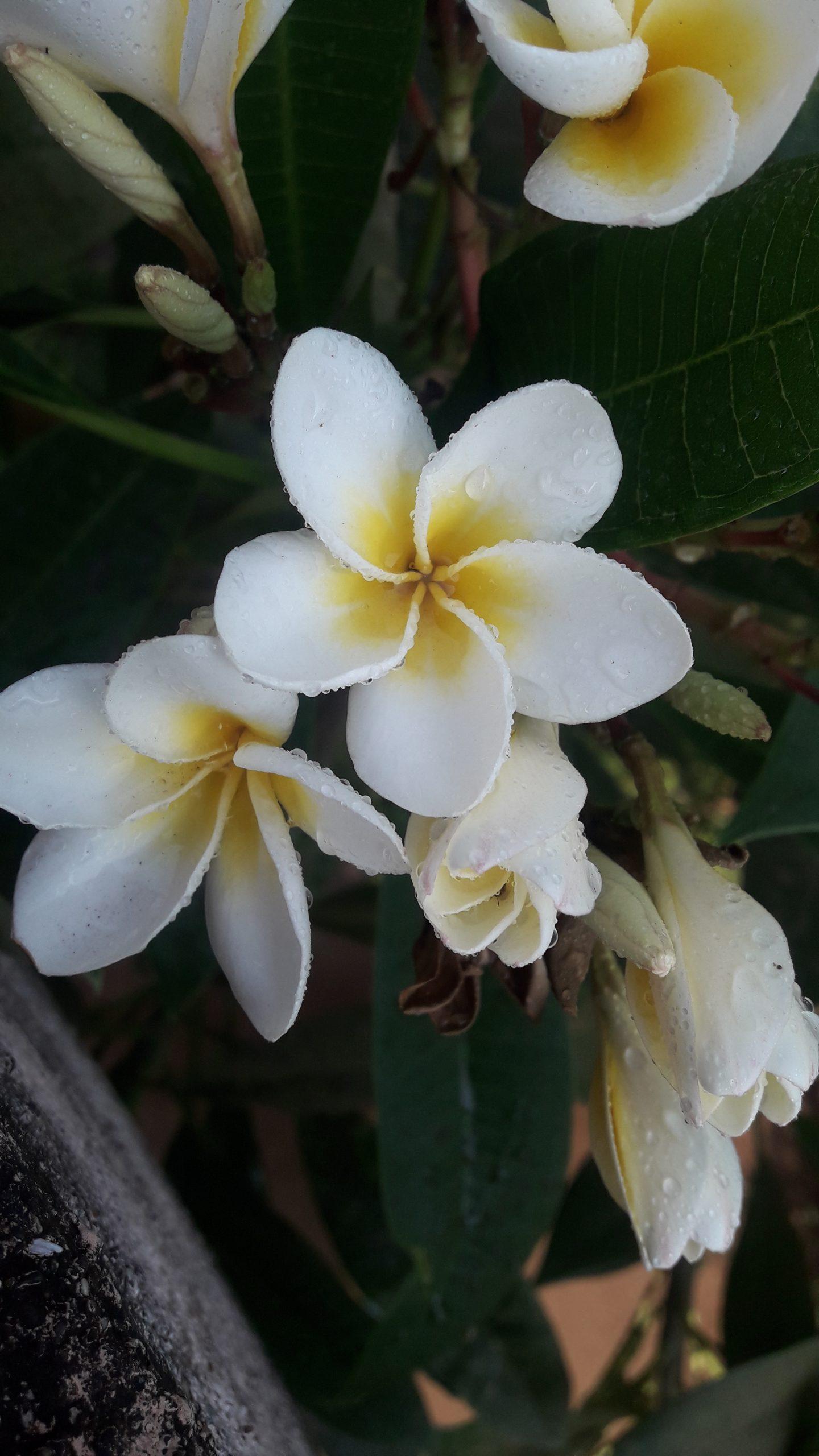 Champa plant flowers