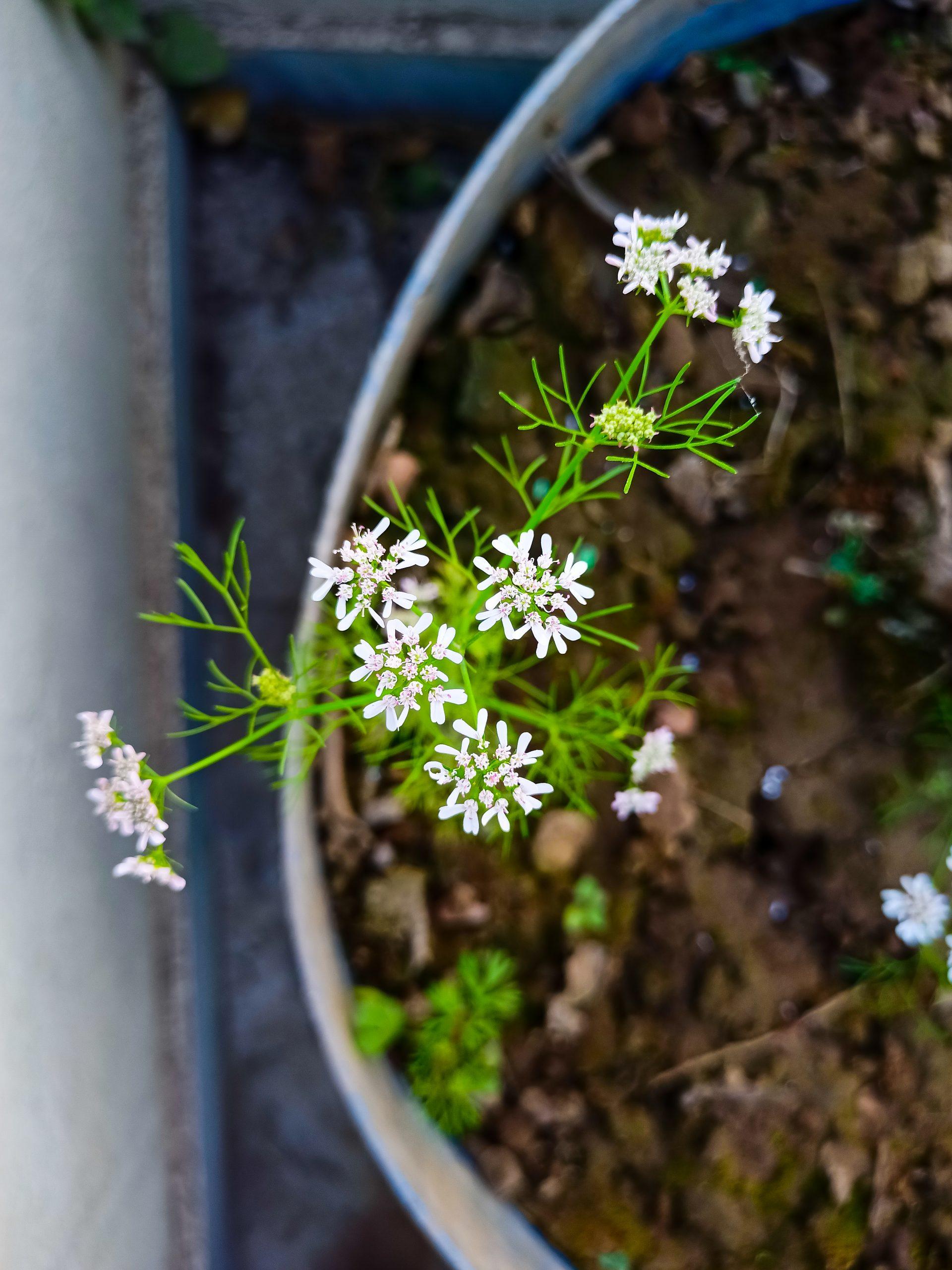 Coriander plant flowers