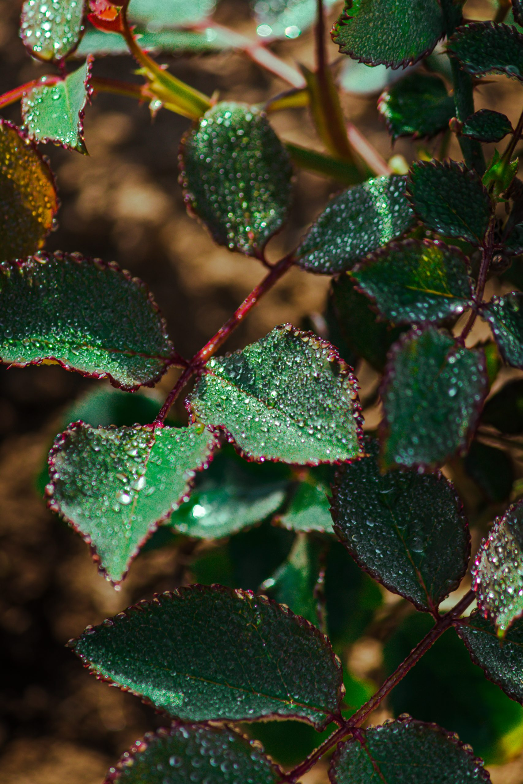Dew drops on a plant leaves