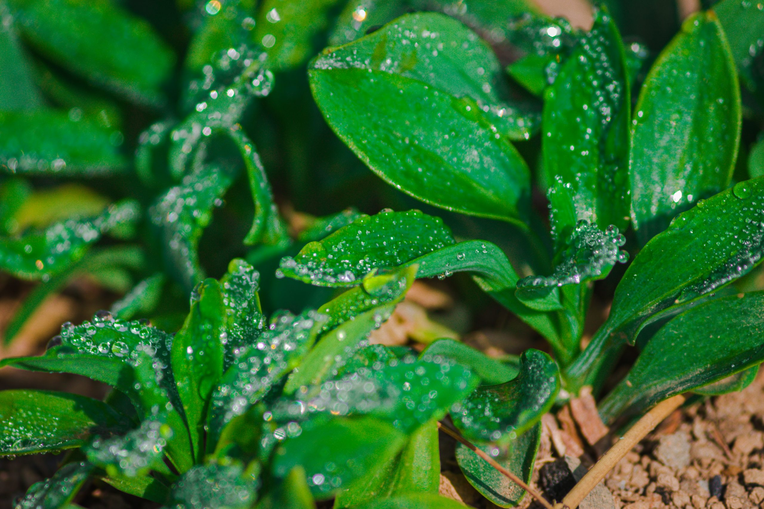 Dew drops on plant leaves