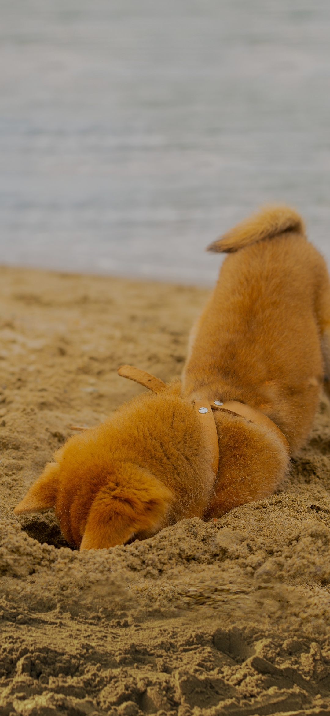 Dog digging up hole in a sand