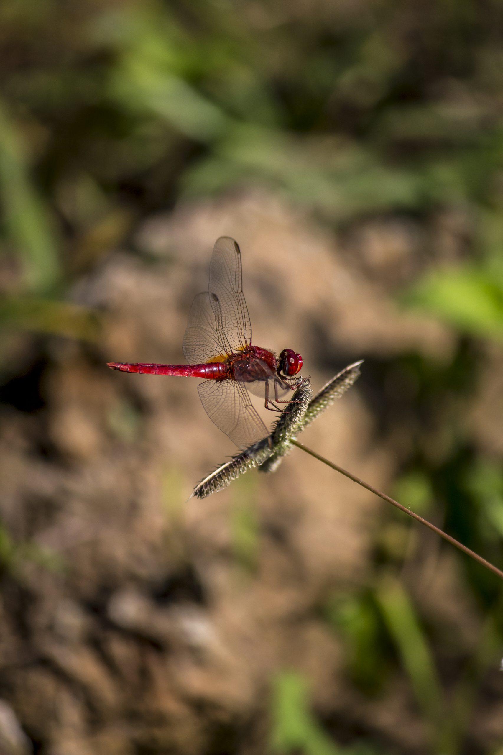 Dragonfly Sitting on the Twig