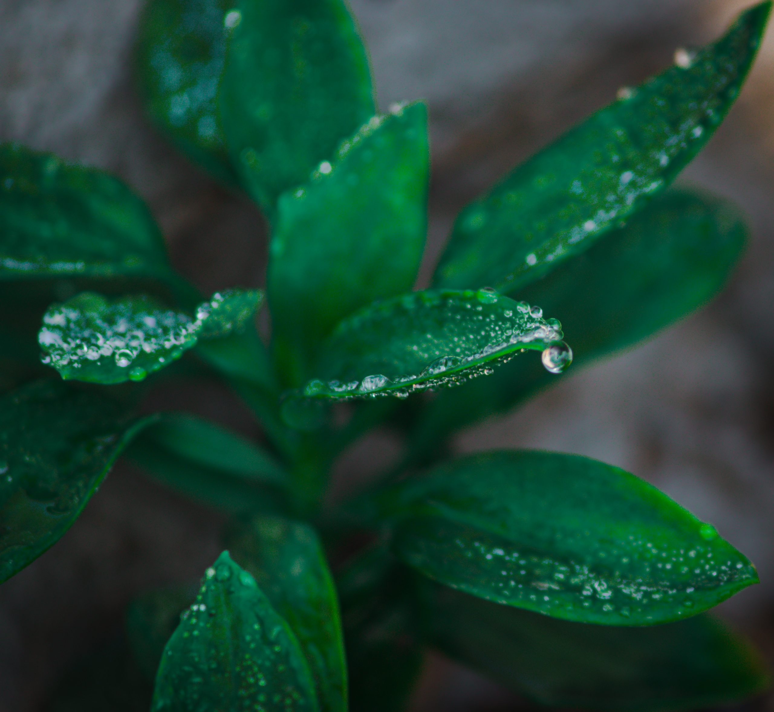 Dewdrops on a plant leaves