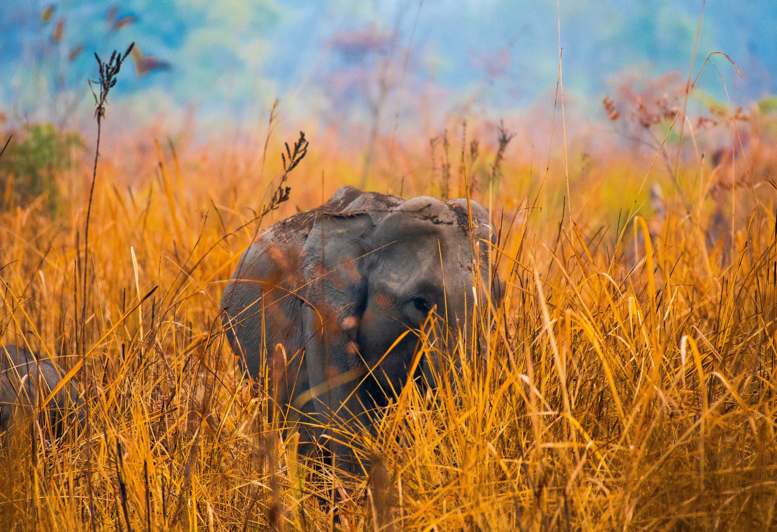 Elephant in the hay