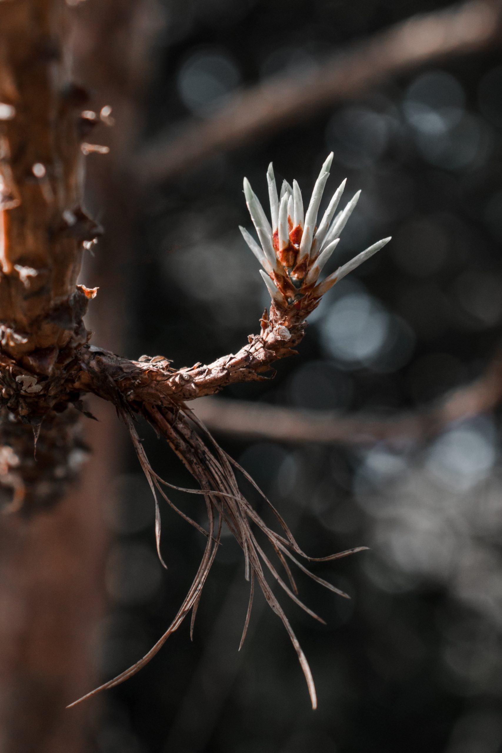 Flower of a pine tree